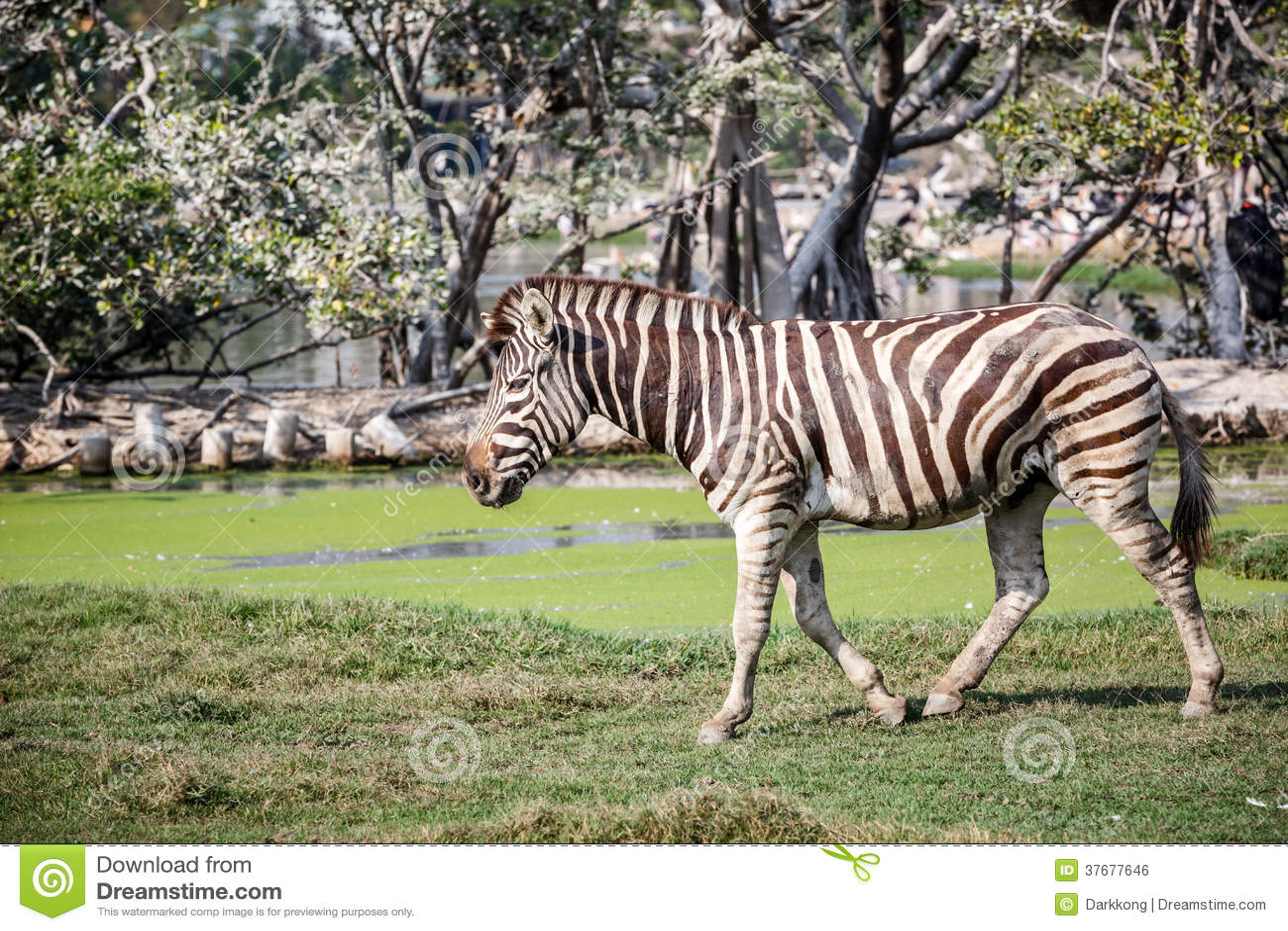 walking zebra royalty free stock image image 37677646