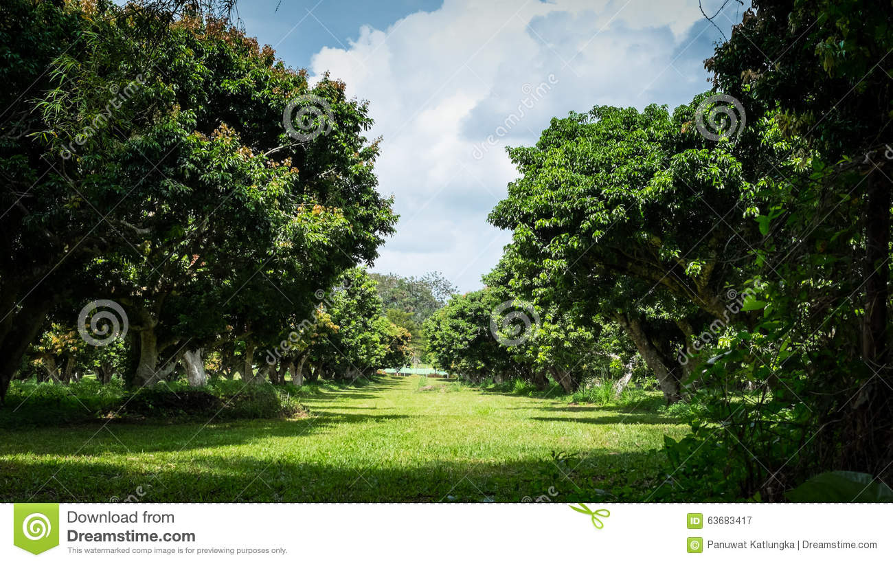 Walkway In Green Litchi Tree Farm Stock Image - Image of