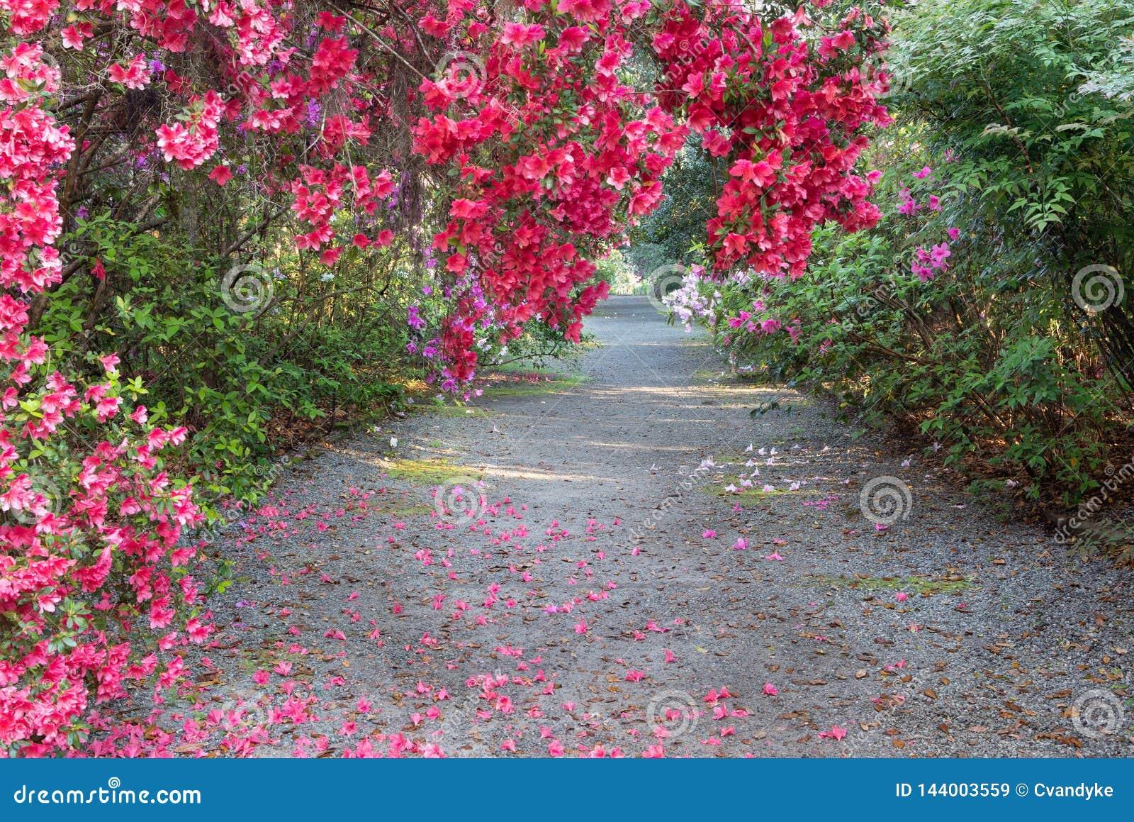 Walkway Pink Azaleas Spring in Charleston South Carolina