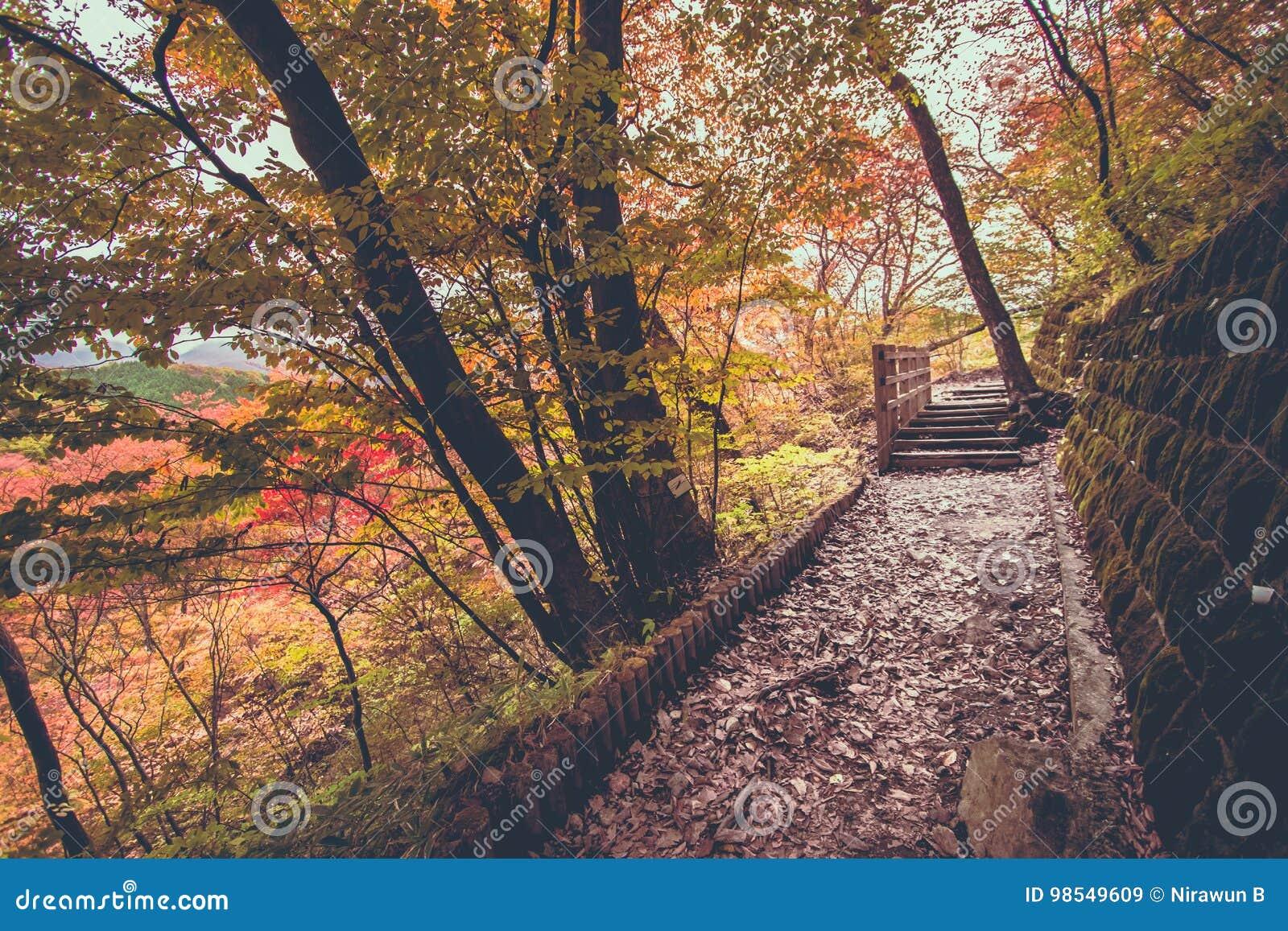 walkway path on nyoho mt with japanese maple leaf stock image