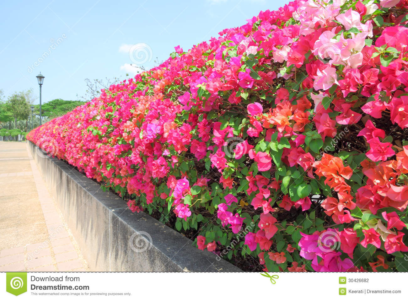 Wall Of Bougainvillea Flower Stock Photo - Image of shrub ...