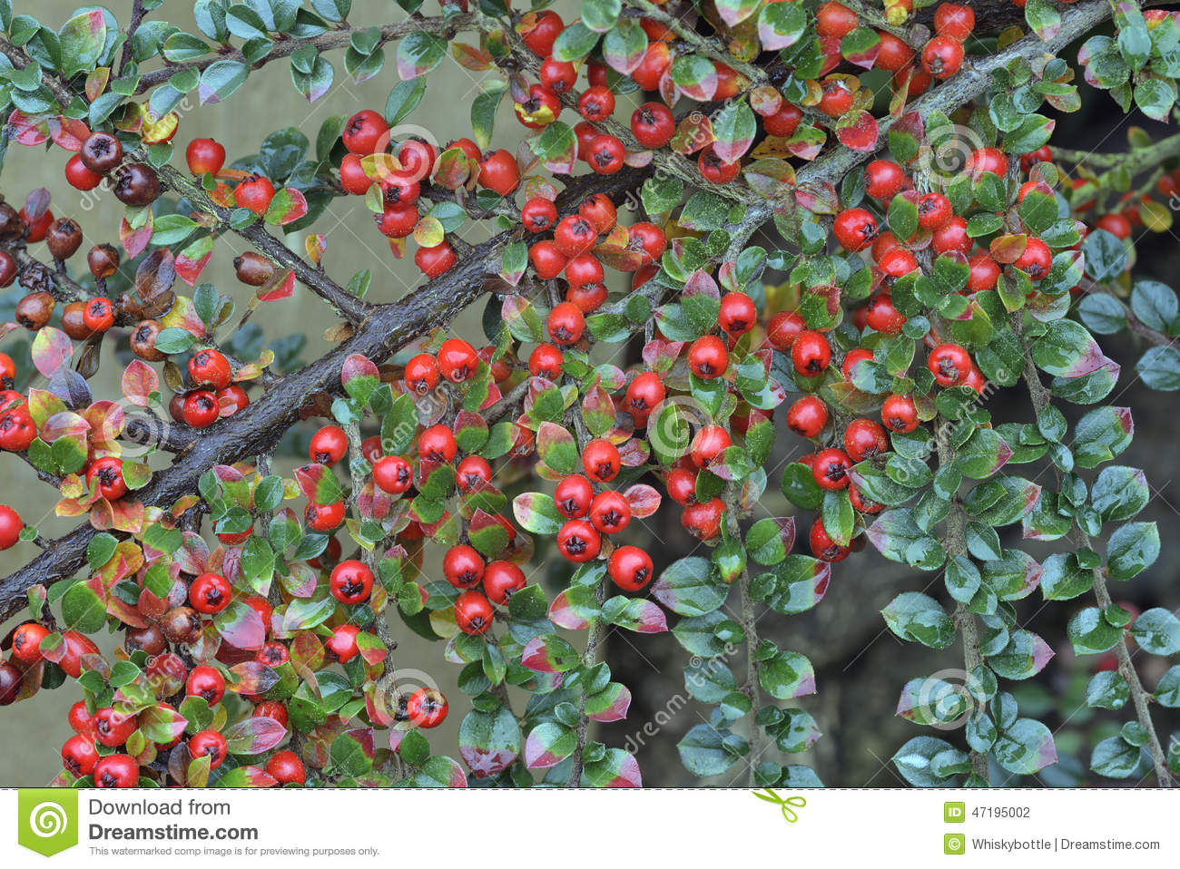 Landscaping Shrubs With Red Berries : Wall cotoneaster stock photo image