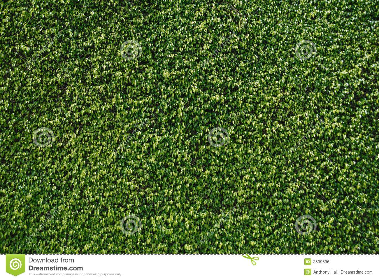 Wall Of Ficus Leaves Royalty Free Stock Image Image 3509636