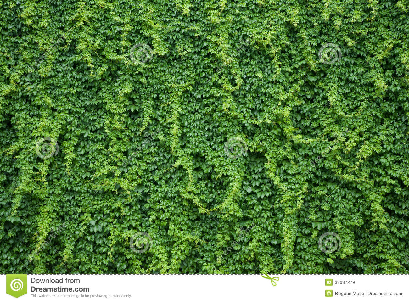 Wall With Green Ivy Leaves Stock Image Image Of Luxuriant