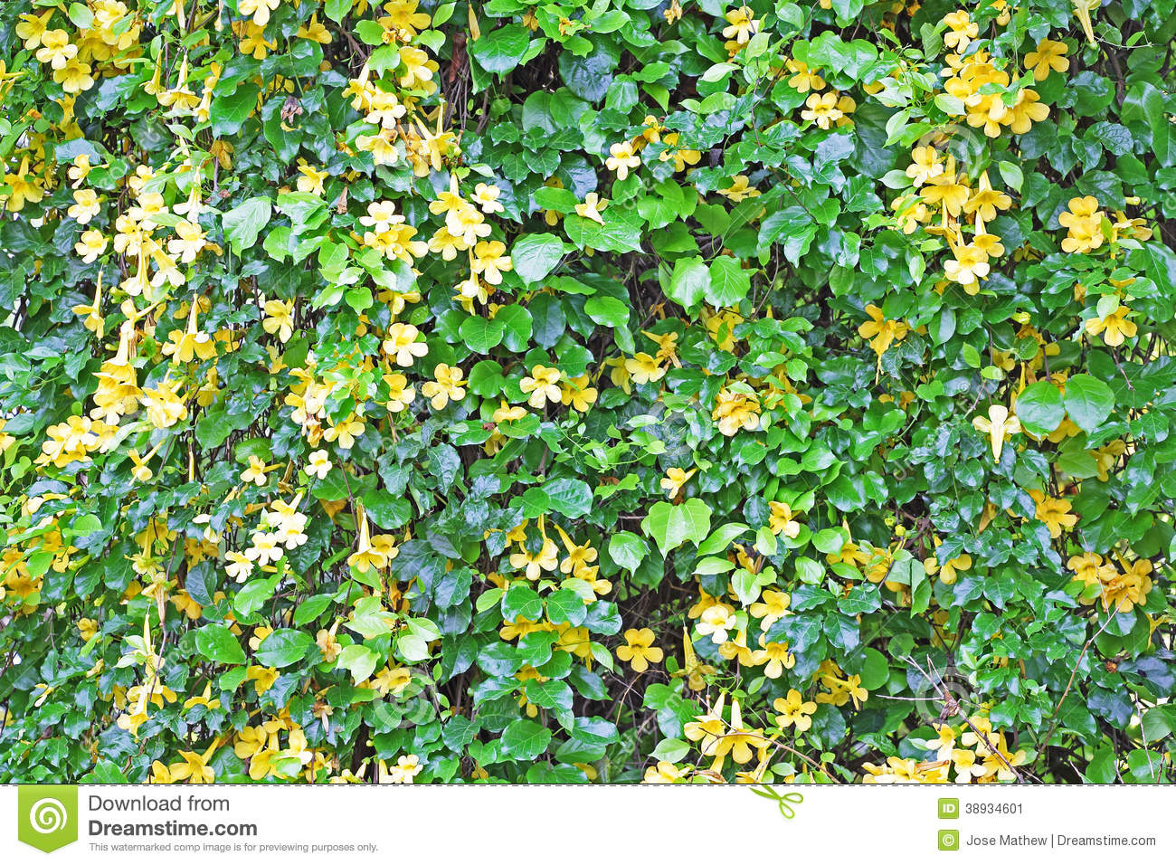 Wall Of Vine With Yellow Flowers Stock Image Image Of Texture