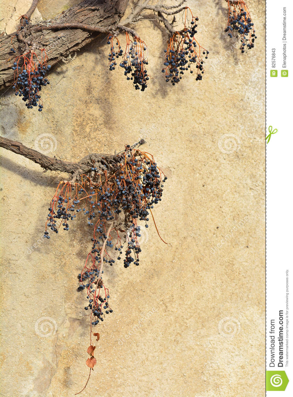 Wall With Weathered Dry Creeper Plant Stock Image - Image of ...