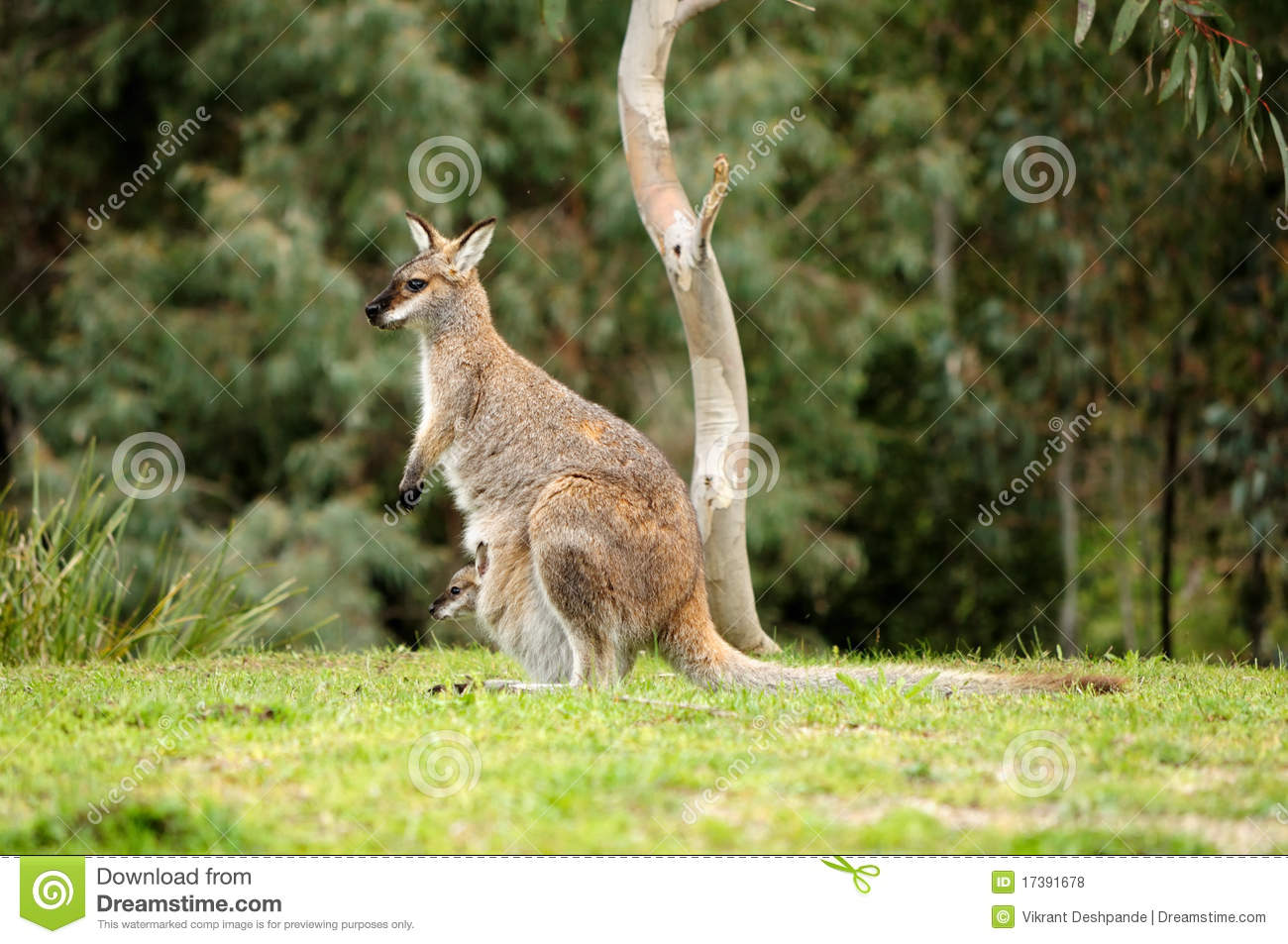 Wallaby Pouch Wallaby Royalty Free S...