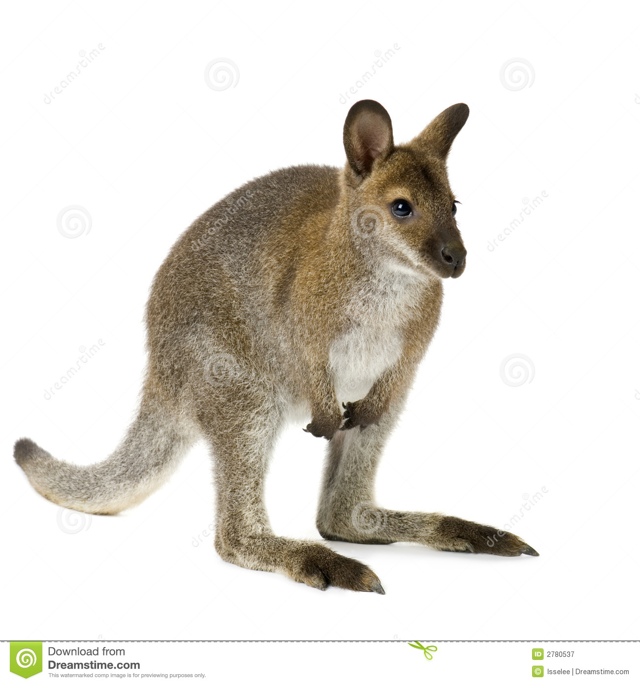 Wallaby Royalty Free Stock Photography - Image: 2780537