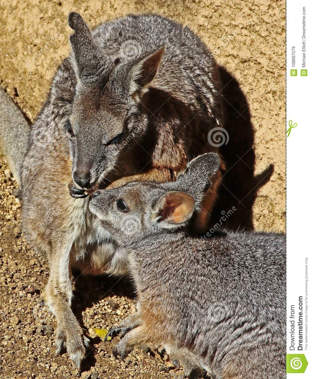 Wallaby stock image  Image of outback, australian, kiss