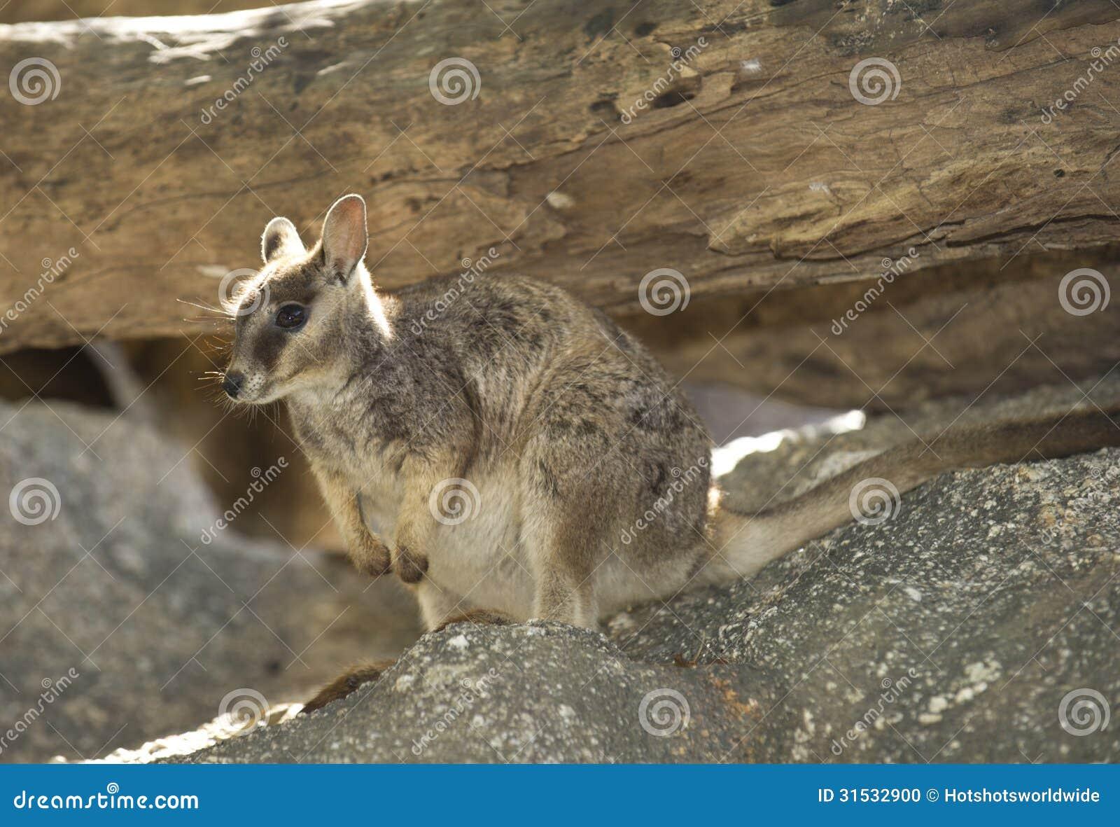 Wallaby di roccia di Mareeba, fiume di mitchell, cairn, Queensland, Australia