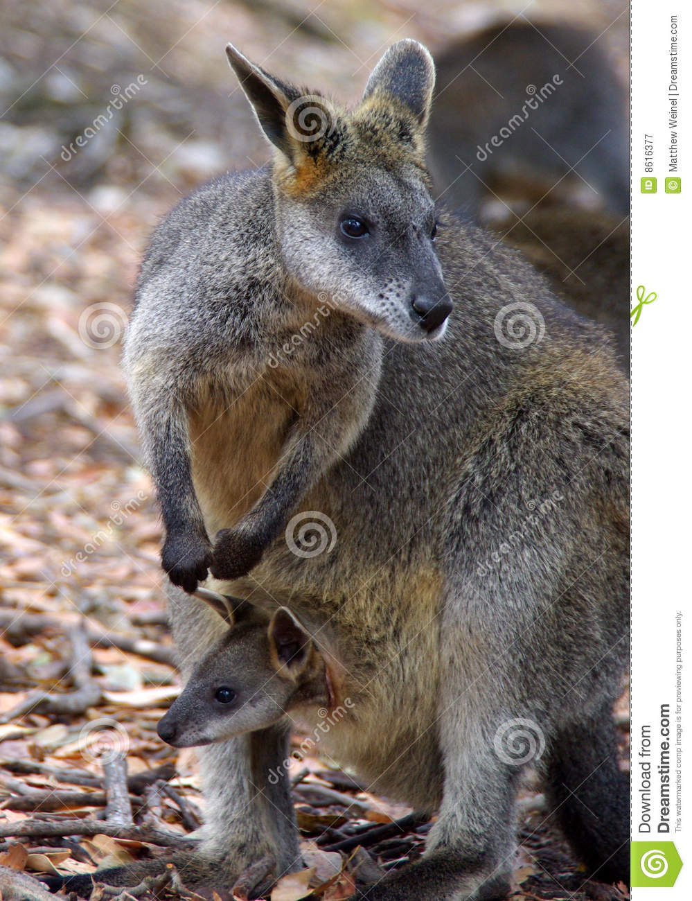 Wallaby Pouch Wallaby With Joey In P...
