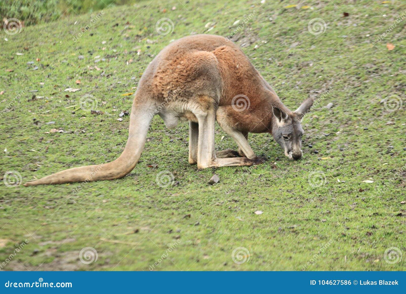 Download Wallaby met rode hals stock foto. Afbeelding bestaande uit australië - 104627586