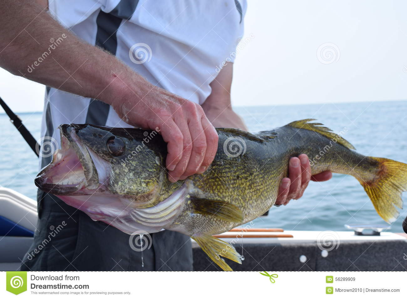 Walleye catch stock photo image 56289909 for Best time to fish for walleye