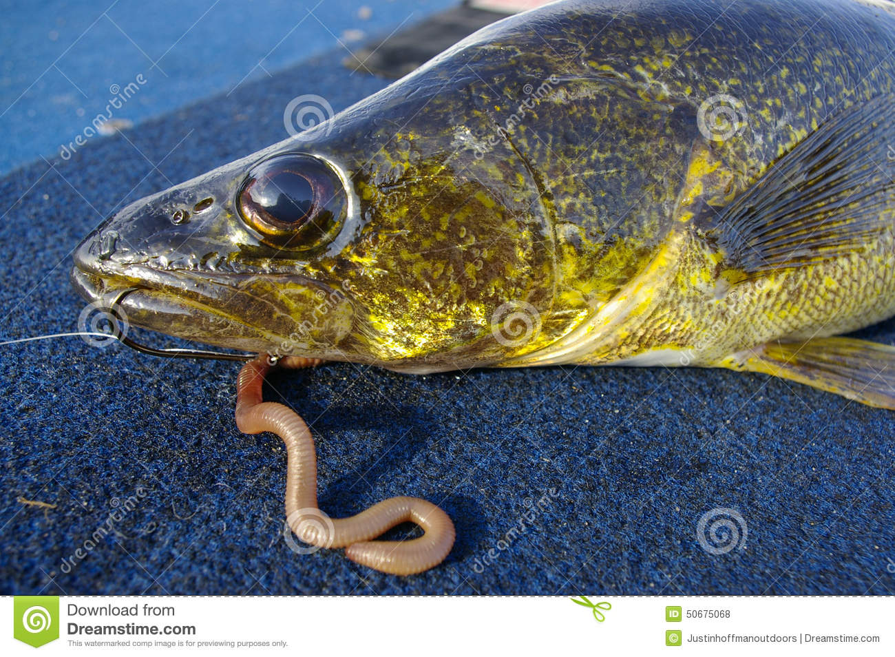 Walleye fish fishing caught with worm and hook stock photo for Best time to fish for walleye