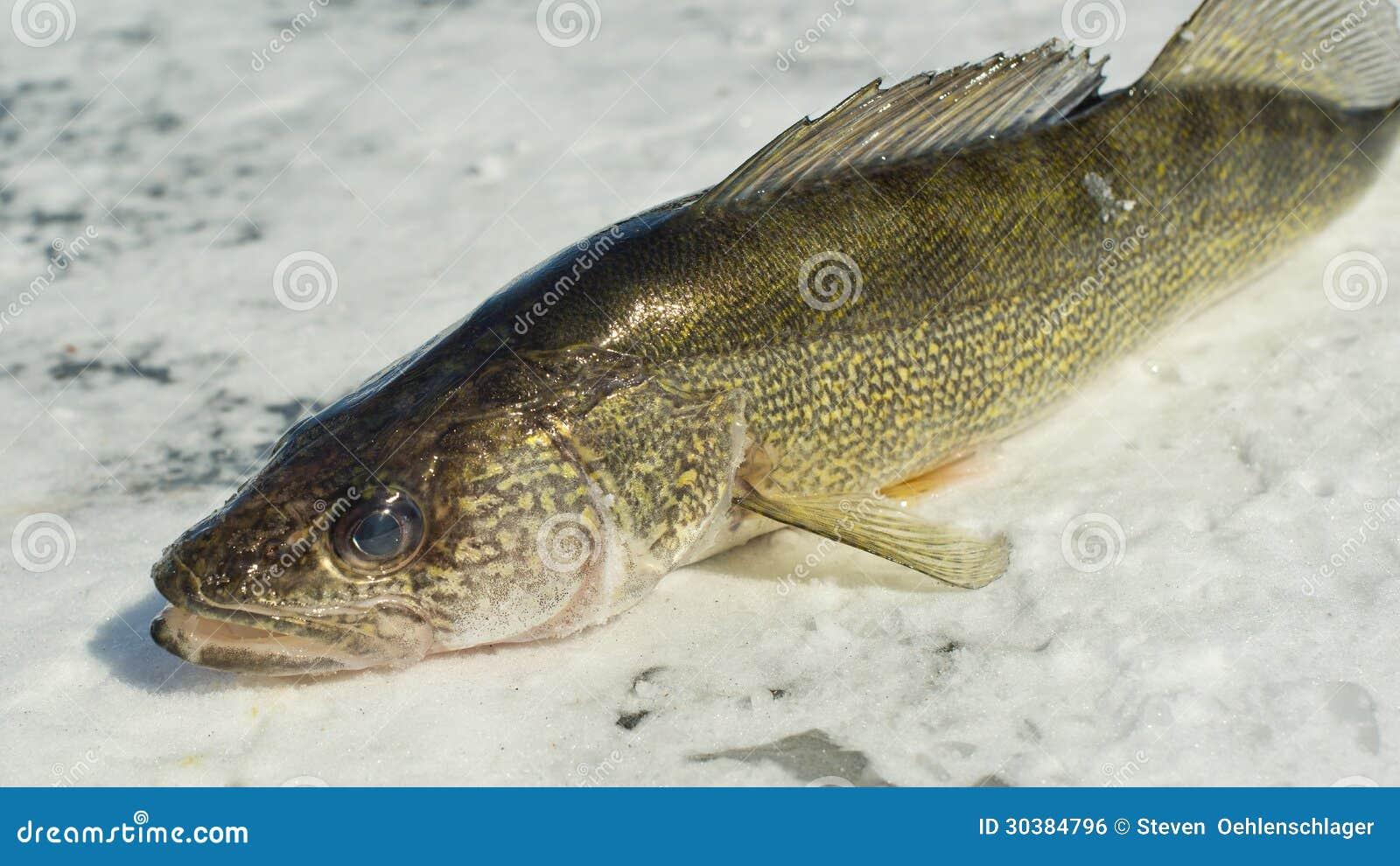 Walleye royalty free stock image image 30384796 for Walleye fishing minnesota
