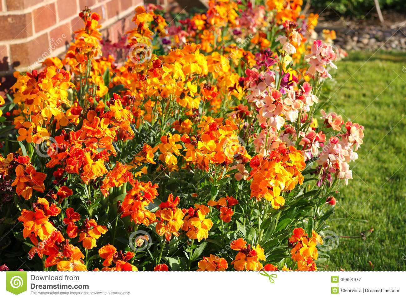 Wallflowers erysimum stock image image of colorful for Flowering landscape plants