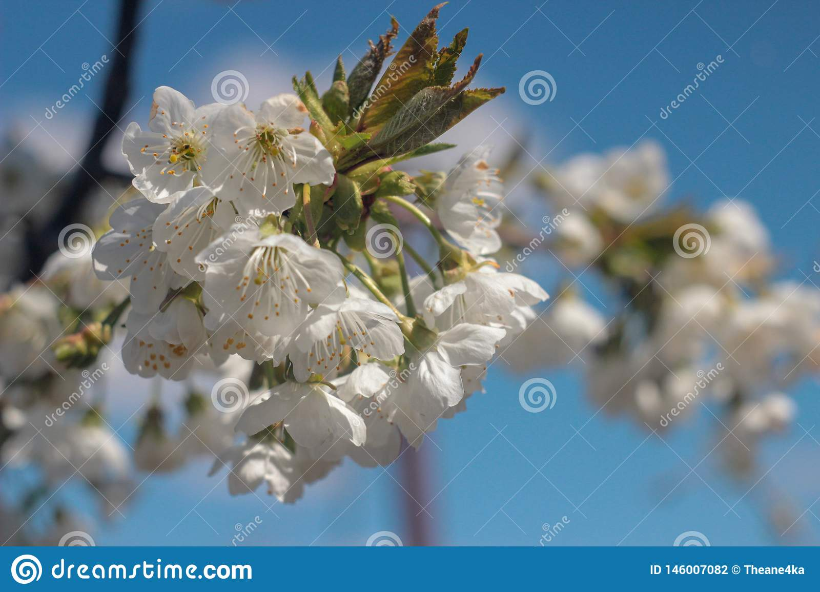 Photo of blooming cherry tree