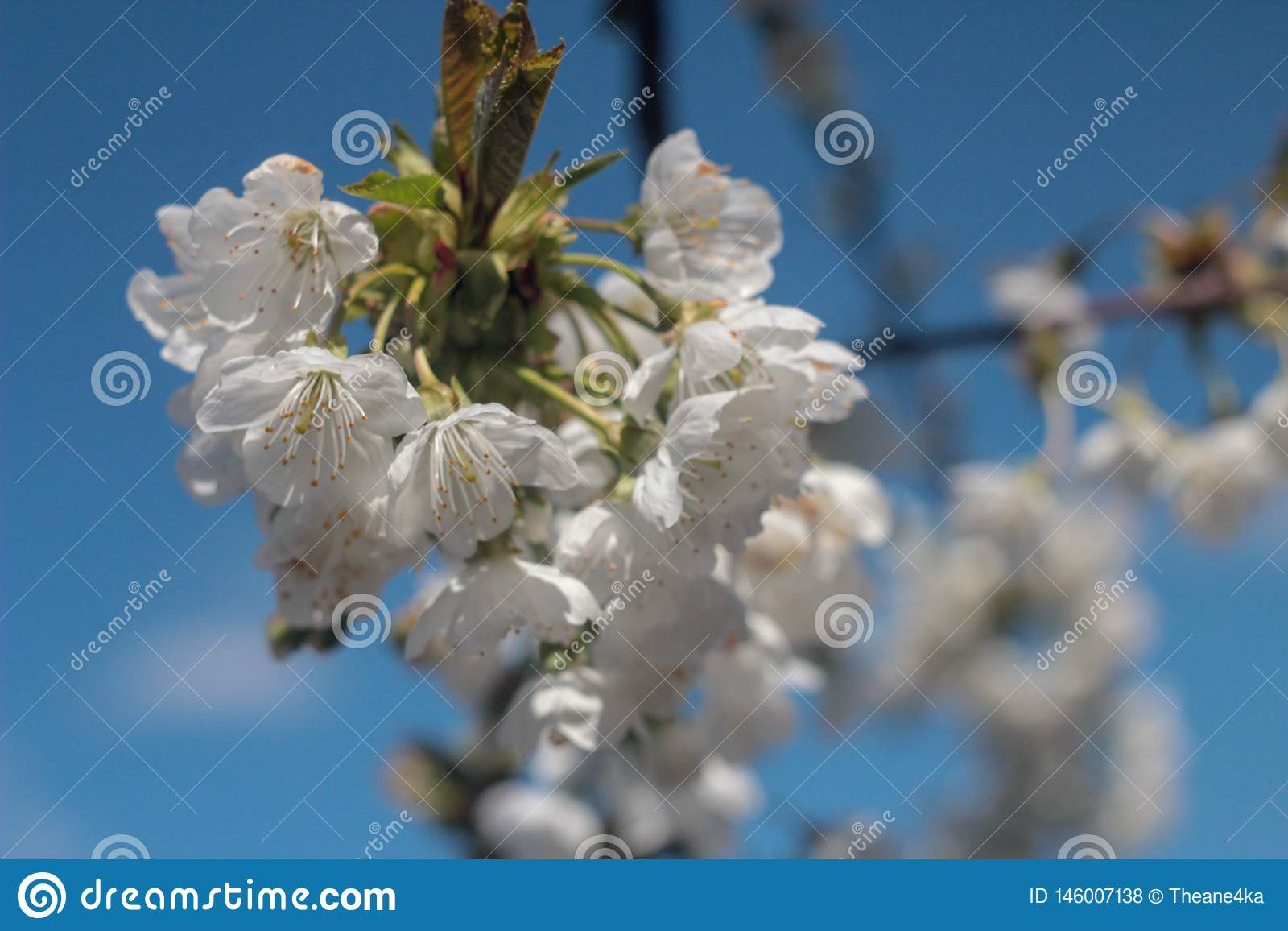 Photo of blooming cherry tree
