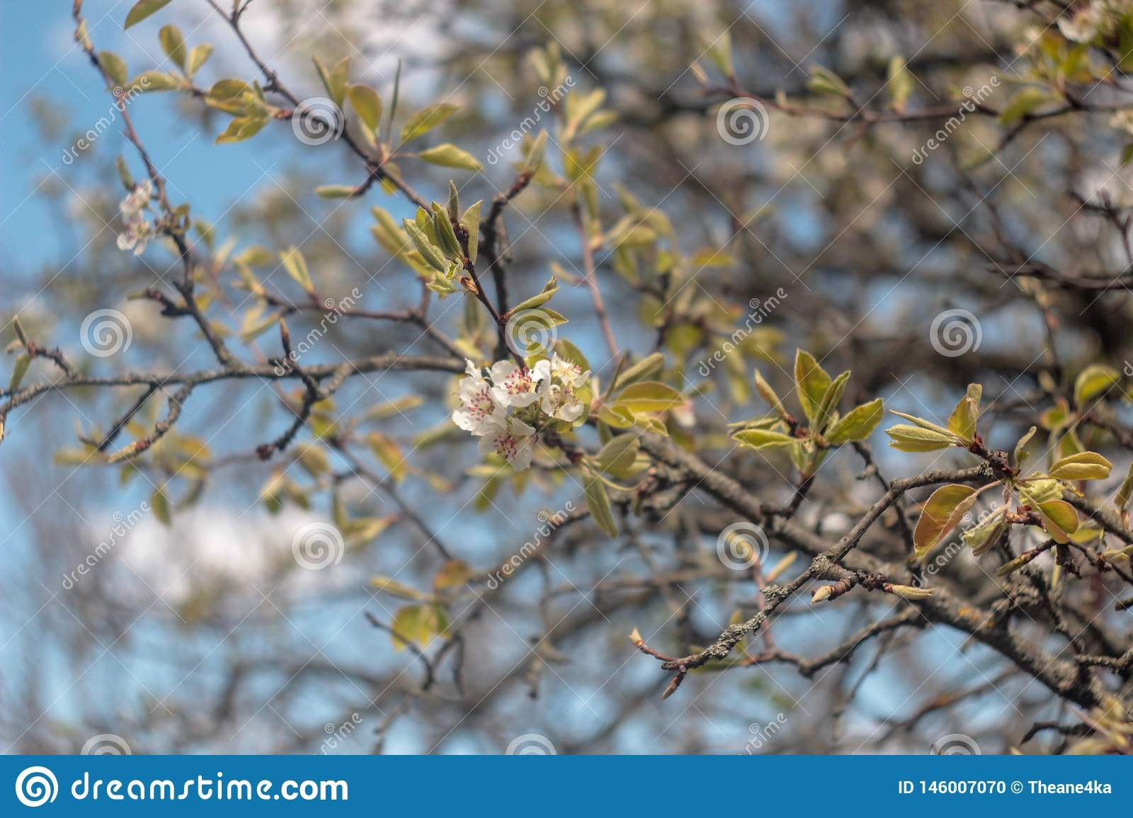 Photo of blooming pear tree