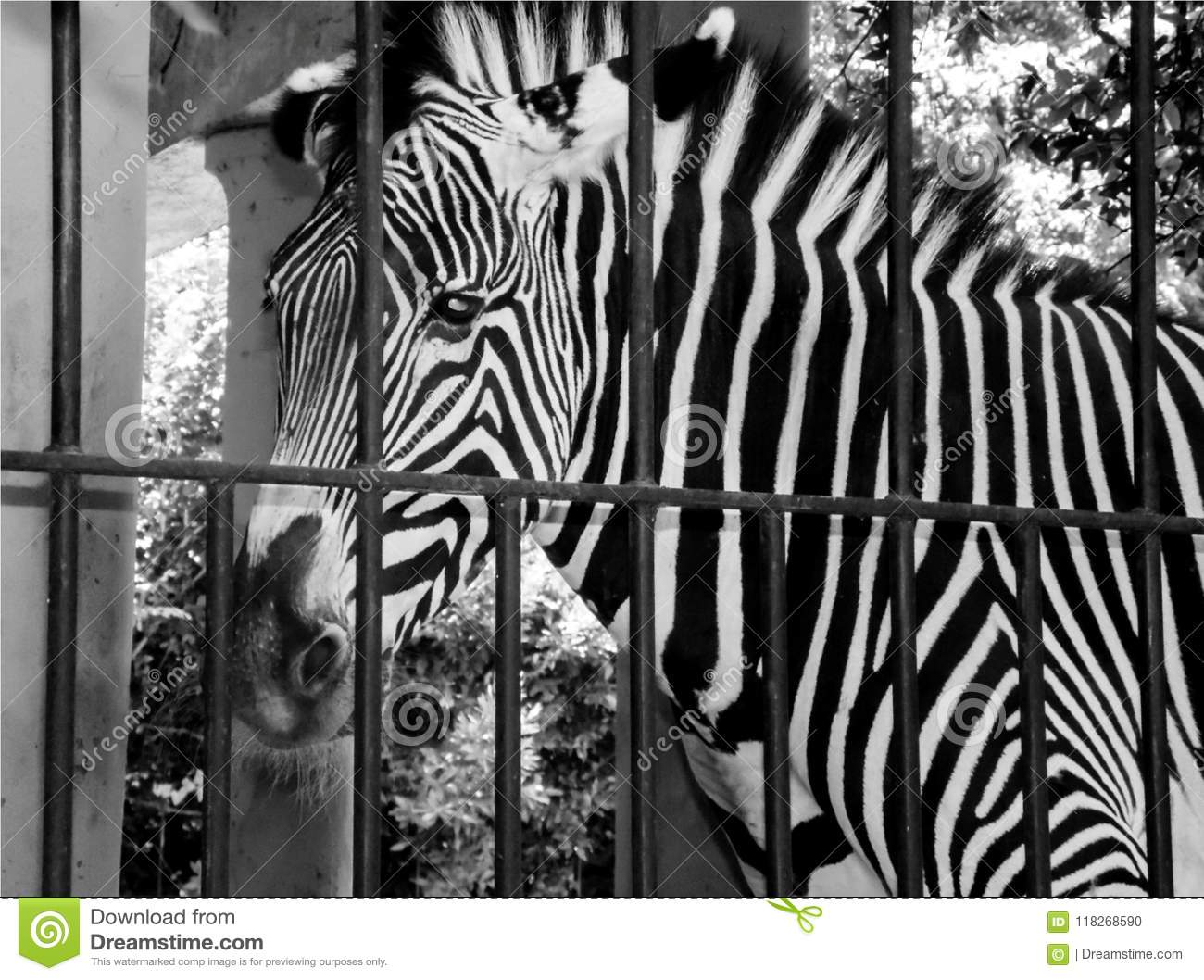 Zebra at the zoo in black and white concept of sad life of an animal in a cage background with portrait of animal closeup detail