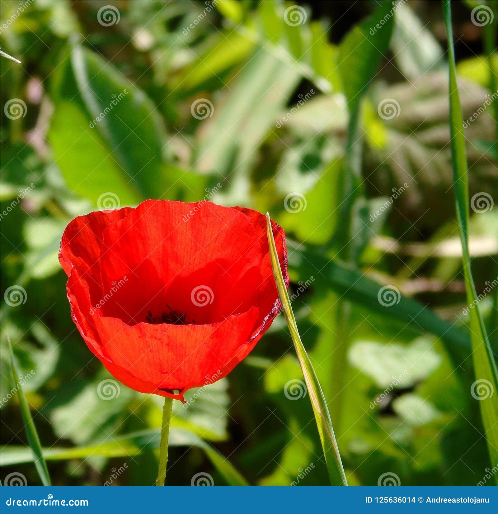 Wallpaper con el primer de la flor roja de la amapola en fondo verde del prado