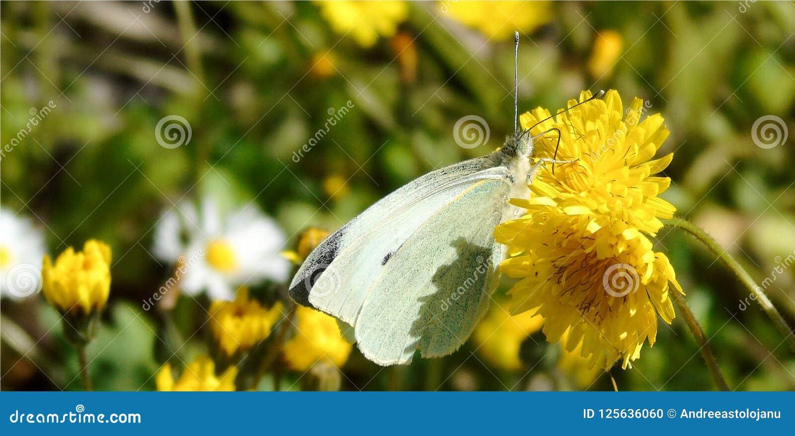 Wallpaper con el primer de la mariposa blanca en la flor amarilla iluminada en fondo florido verde del prado