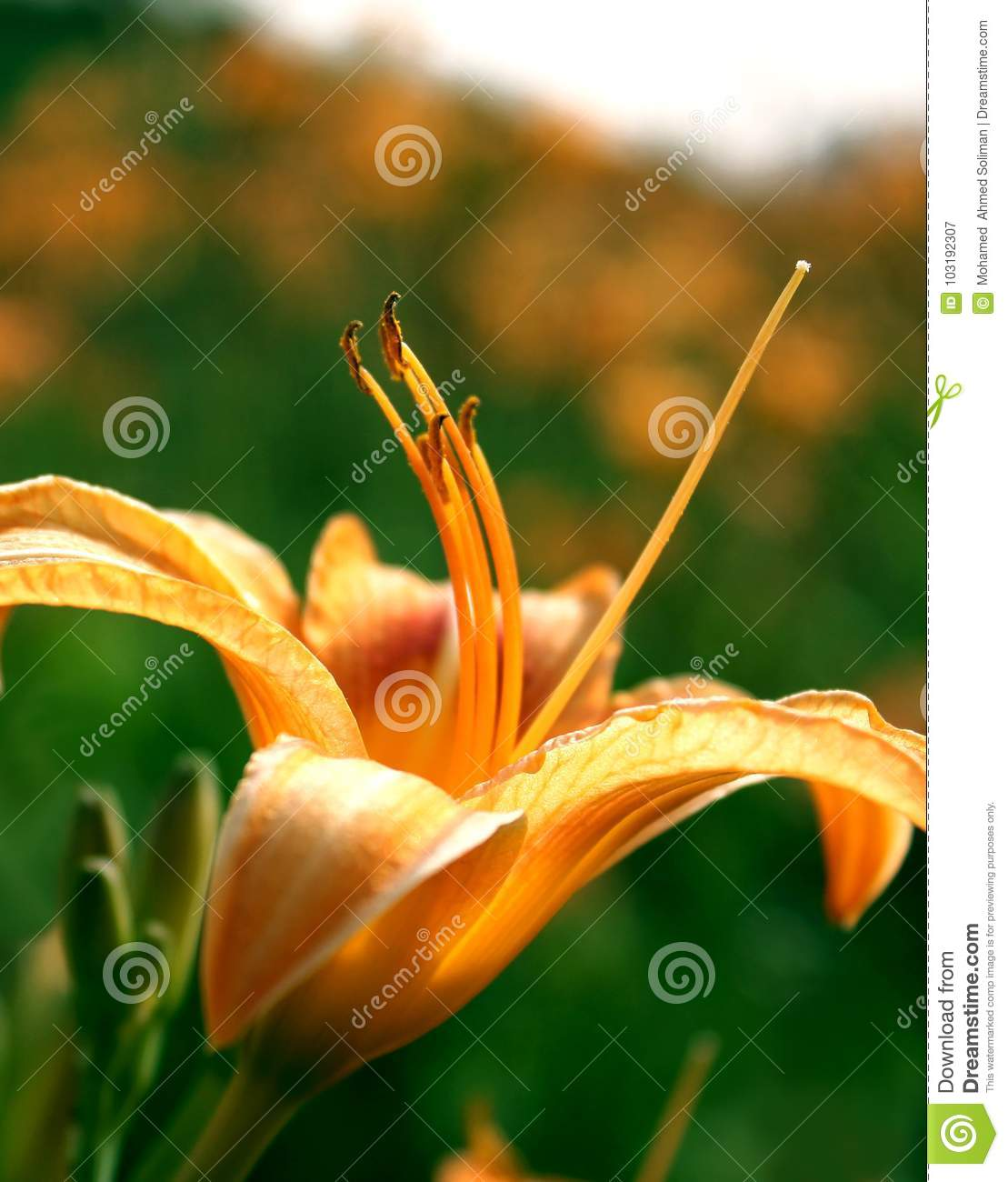 Lily flower wallpaper stock image image of under love 103192307 lily flower wallpaper izmirmasajfo