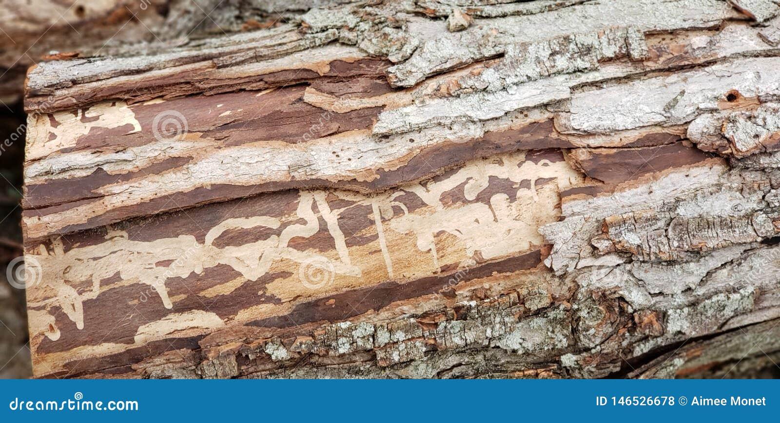 Walnuss-Baum-Überreste