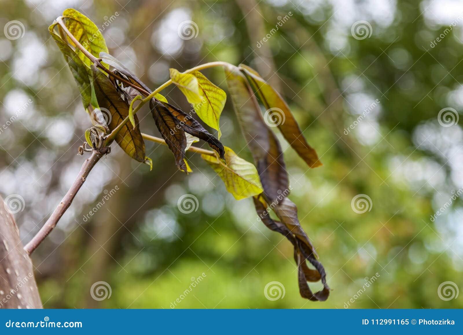 Walnut plant is damaged by frost