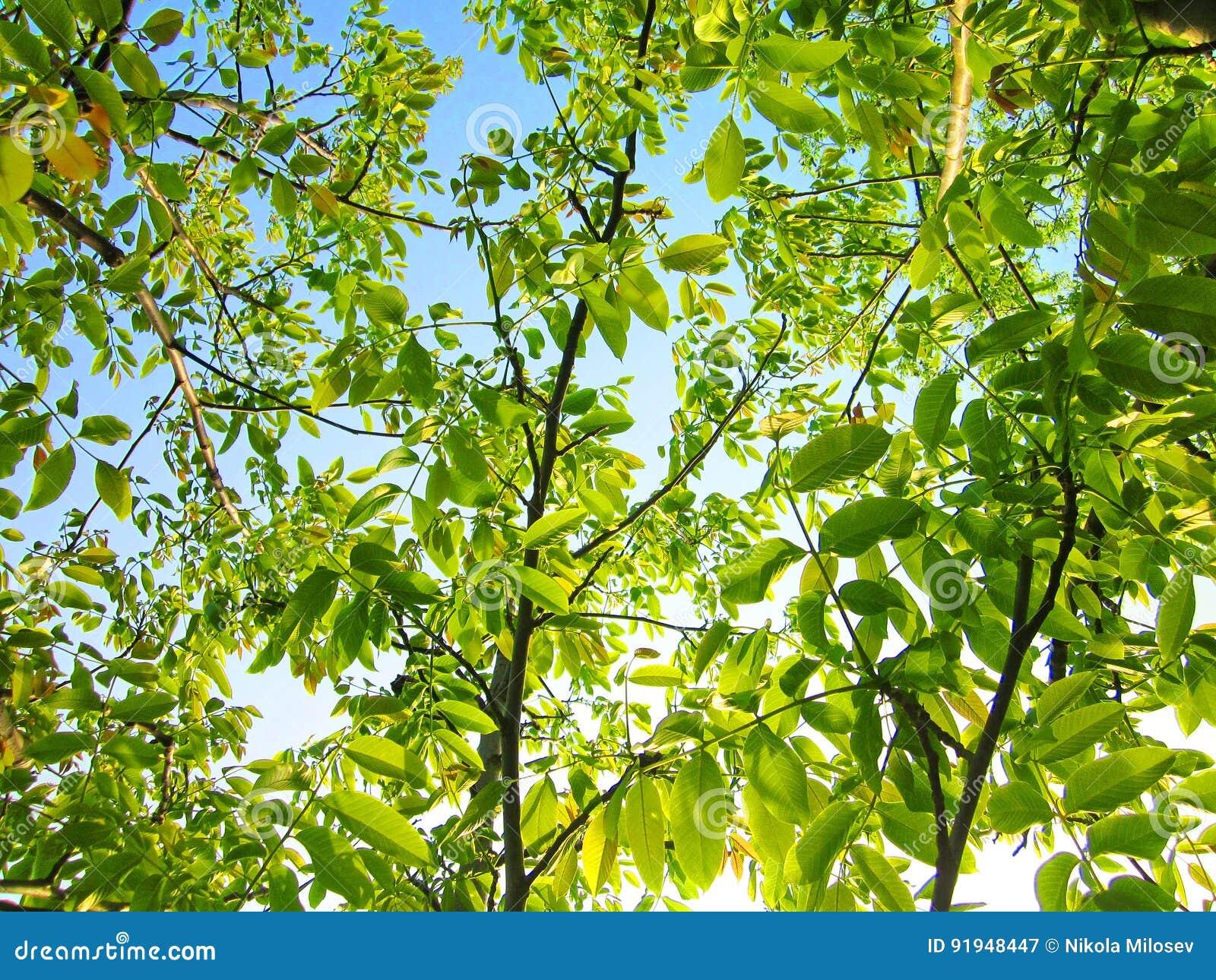 Walnut tree branches