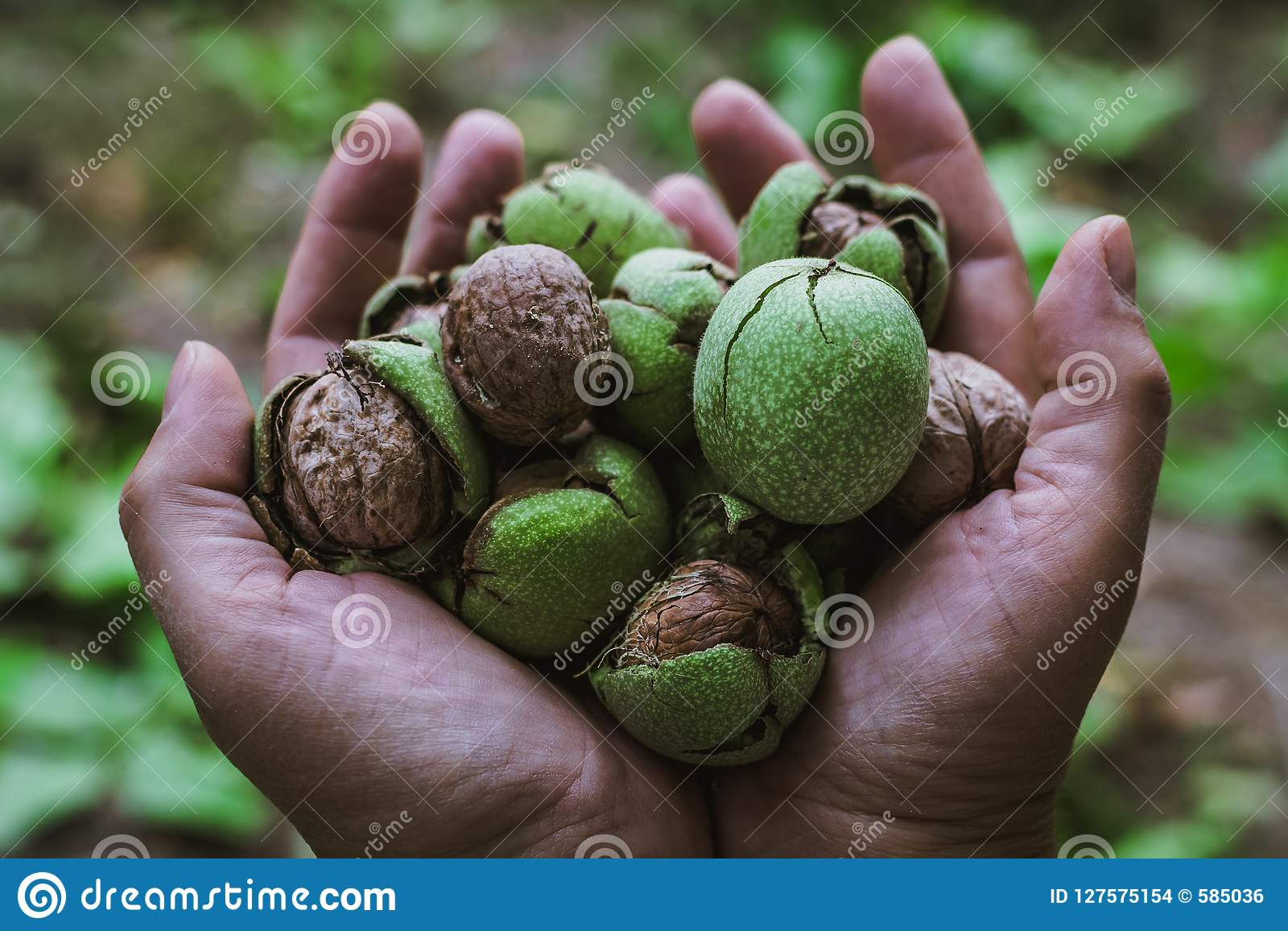 Walnuts in hand stock photo  Image of nature, organic