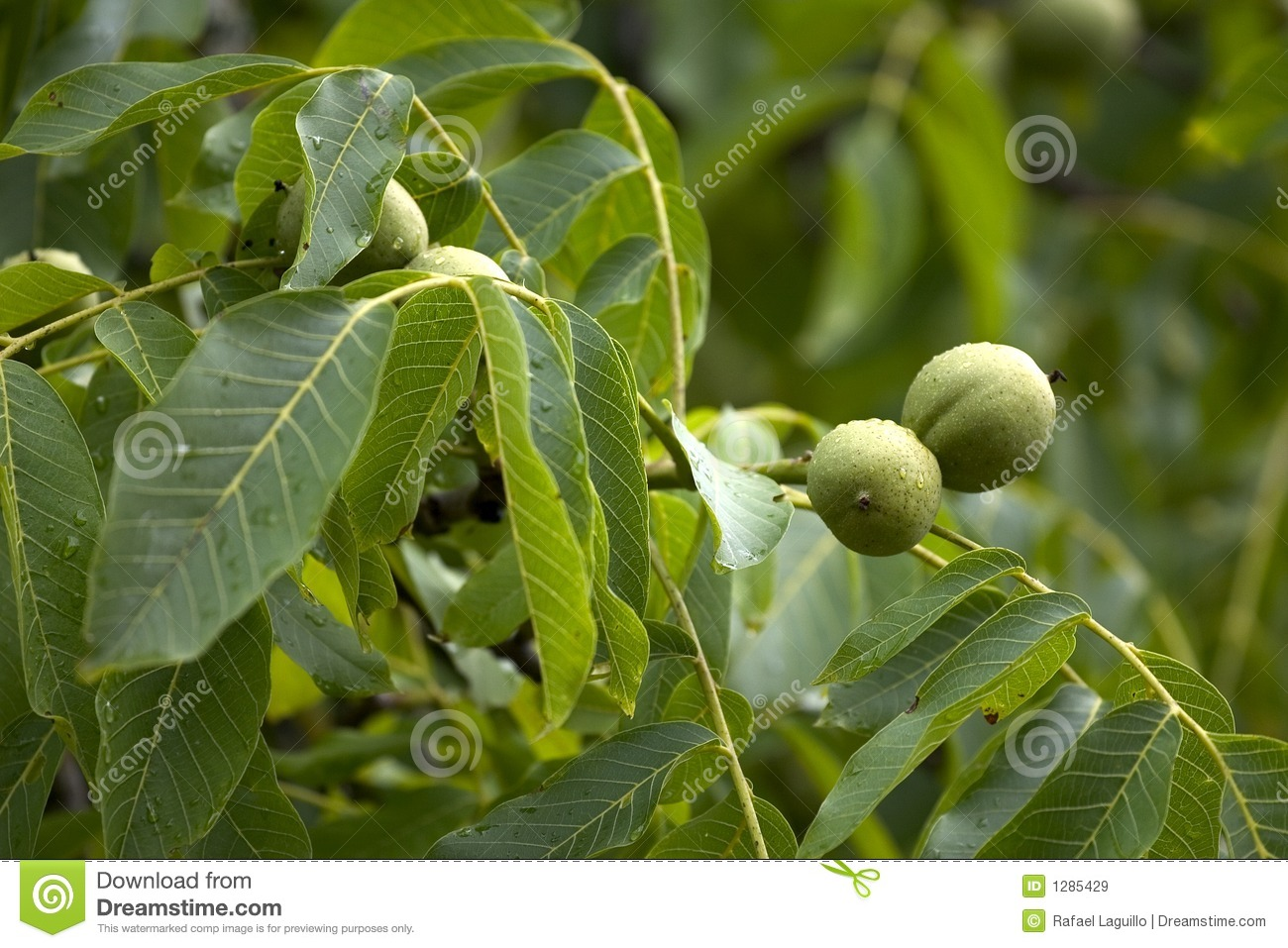 Walnuts on the tree royalty free stock images image 1285429 - Growing french walnuts for a profit ...