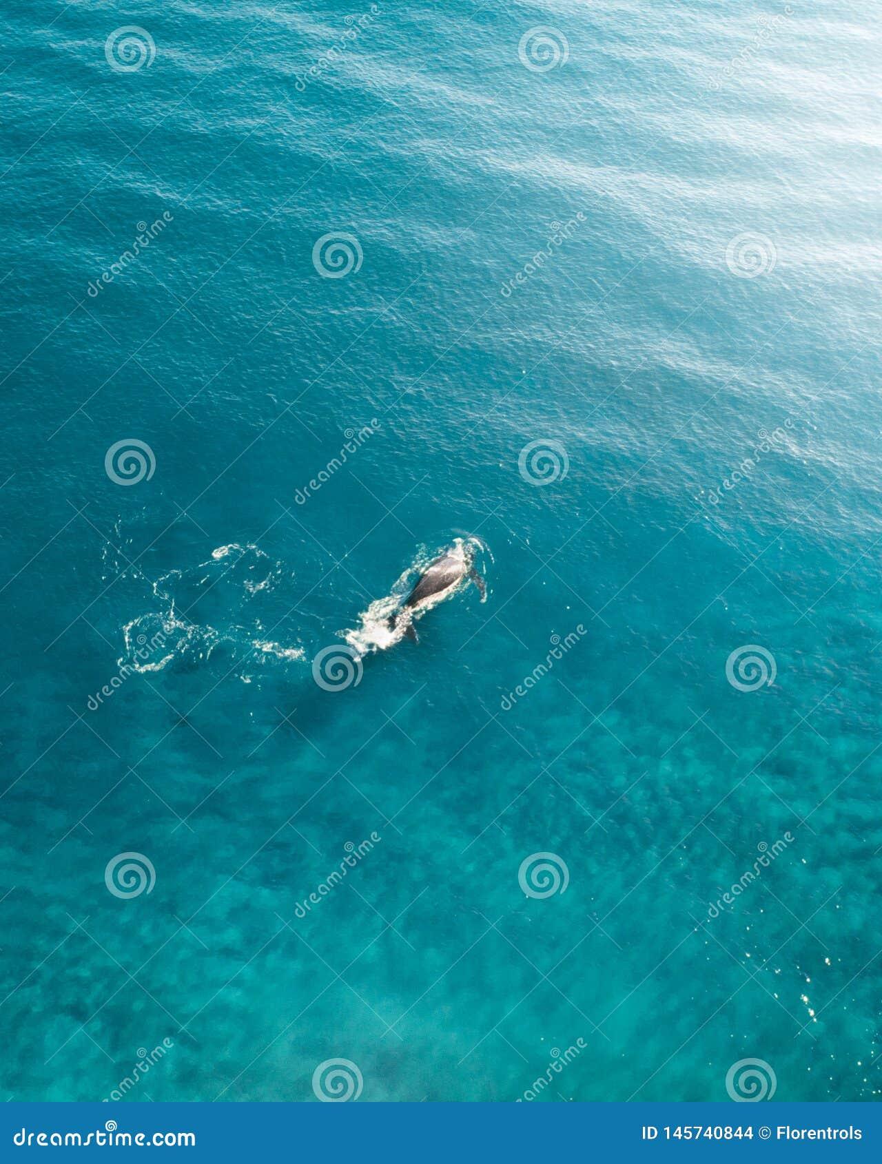 Walvis die in de oceaan kruisen Antenne van een walvis wordt geschoten die de bovenkant van het water van de blauwe oceaan overtr