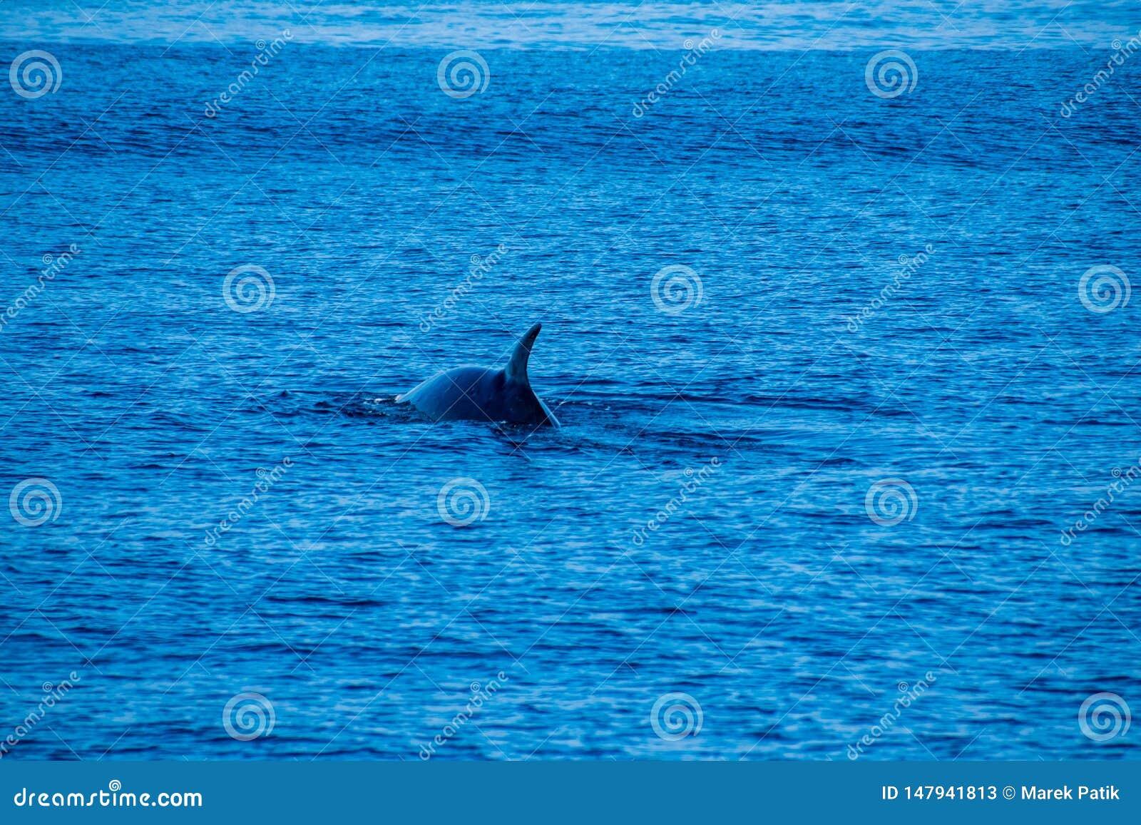 Walvis het letten op, de Azoren 2019, dichtbij Ponta Delgada