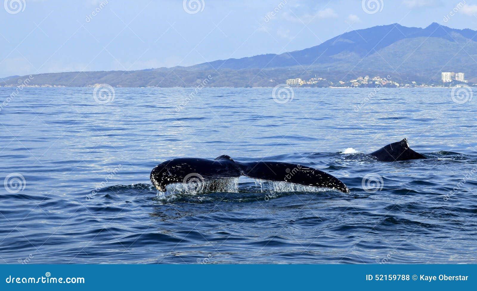 Walvis het letten op in Puerto Vallarta