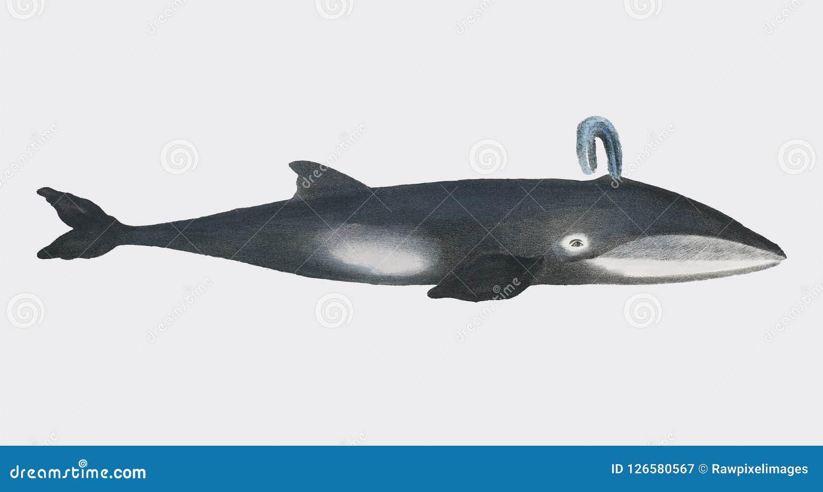 Walvis van Biologiebeelden van Zoogdieren 1824 door Heinrich Rudolf Schinz Digitaal verbeterd door rawpixel