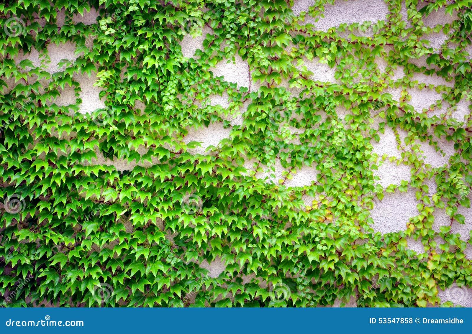 Wand Mit Efeu Stockfoto. Bild Von Grün, Fassade, Muster