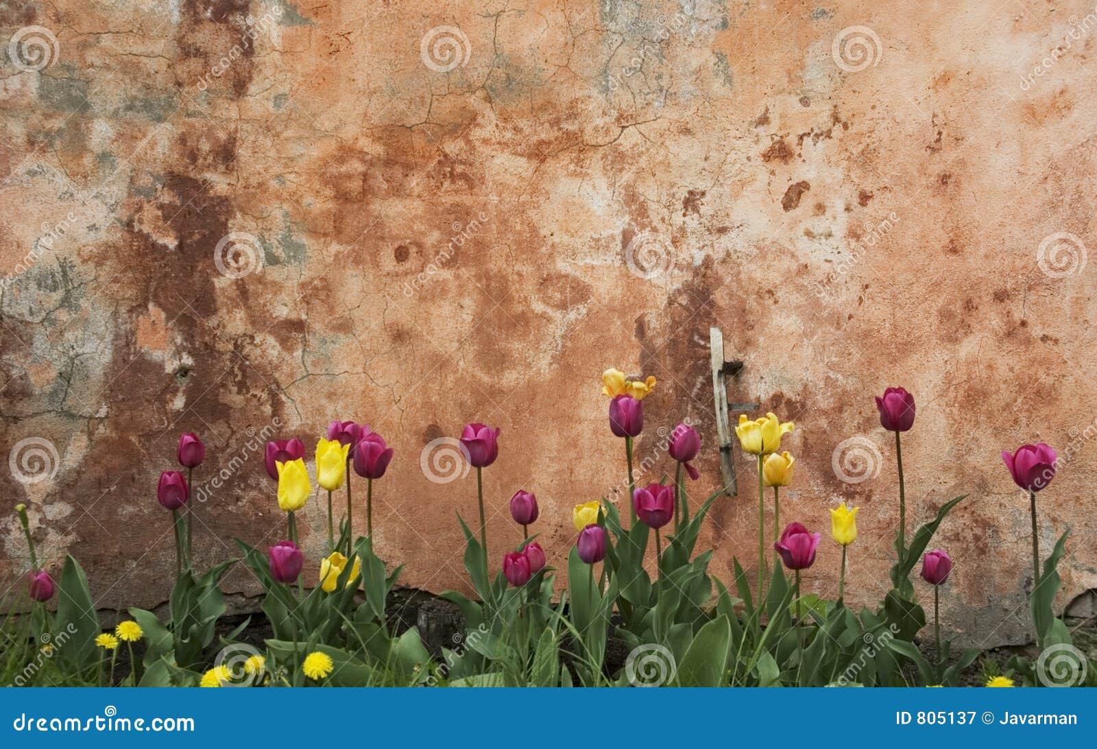 Wand und Tulpen