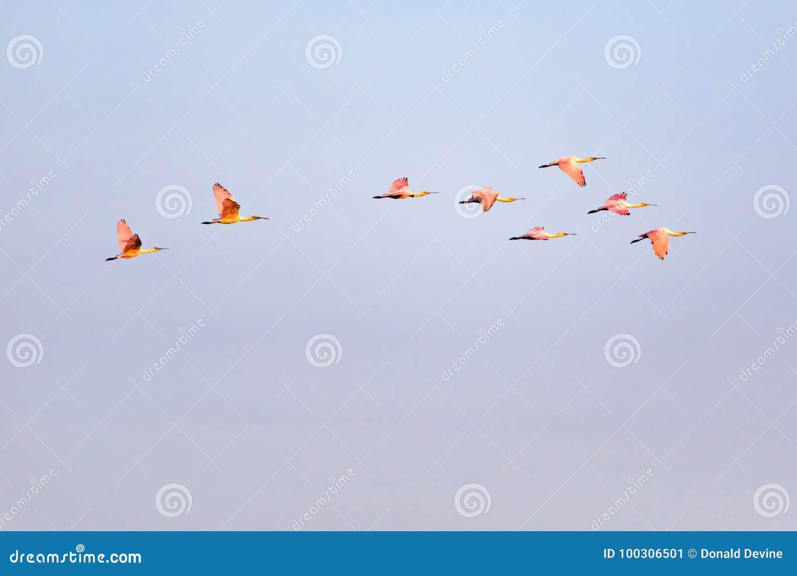 Wander- Menge von rosa Spoonbills