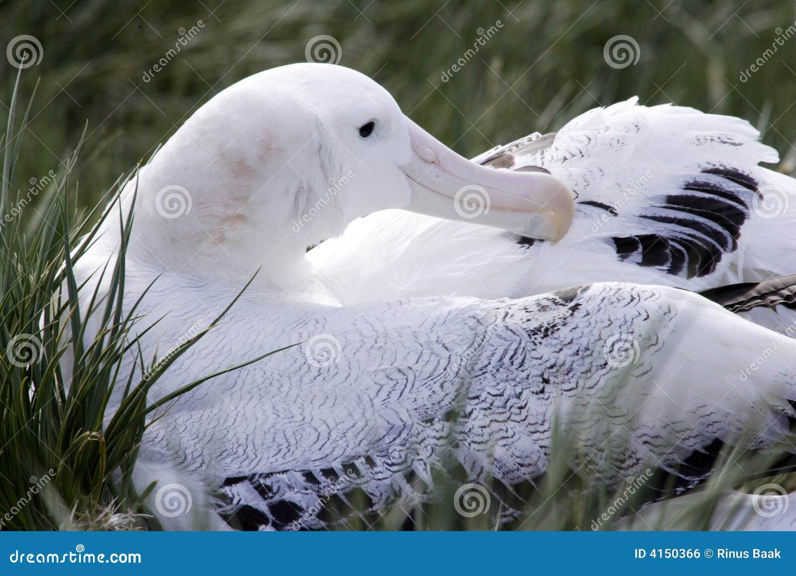 wandering-albatross-nest-4150366 jpgWandering Albatross Nest
