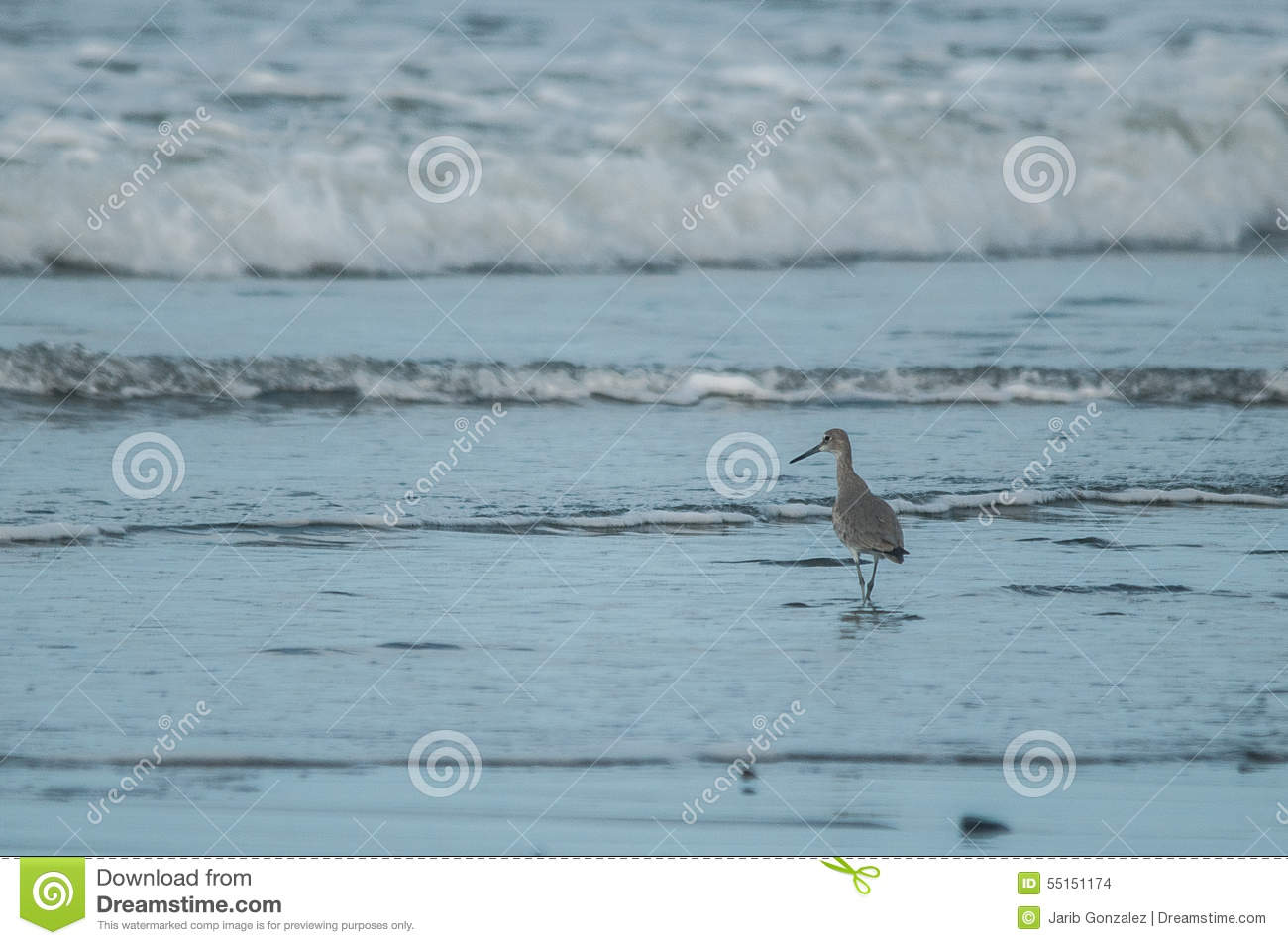 Download Wandering Tattler stock photo. Image of wild, whale, wandering - 55151174