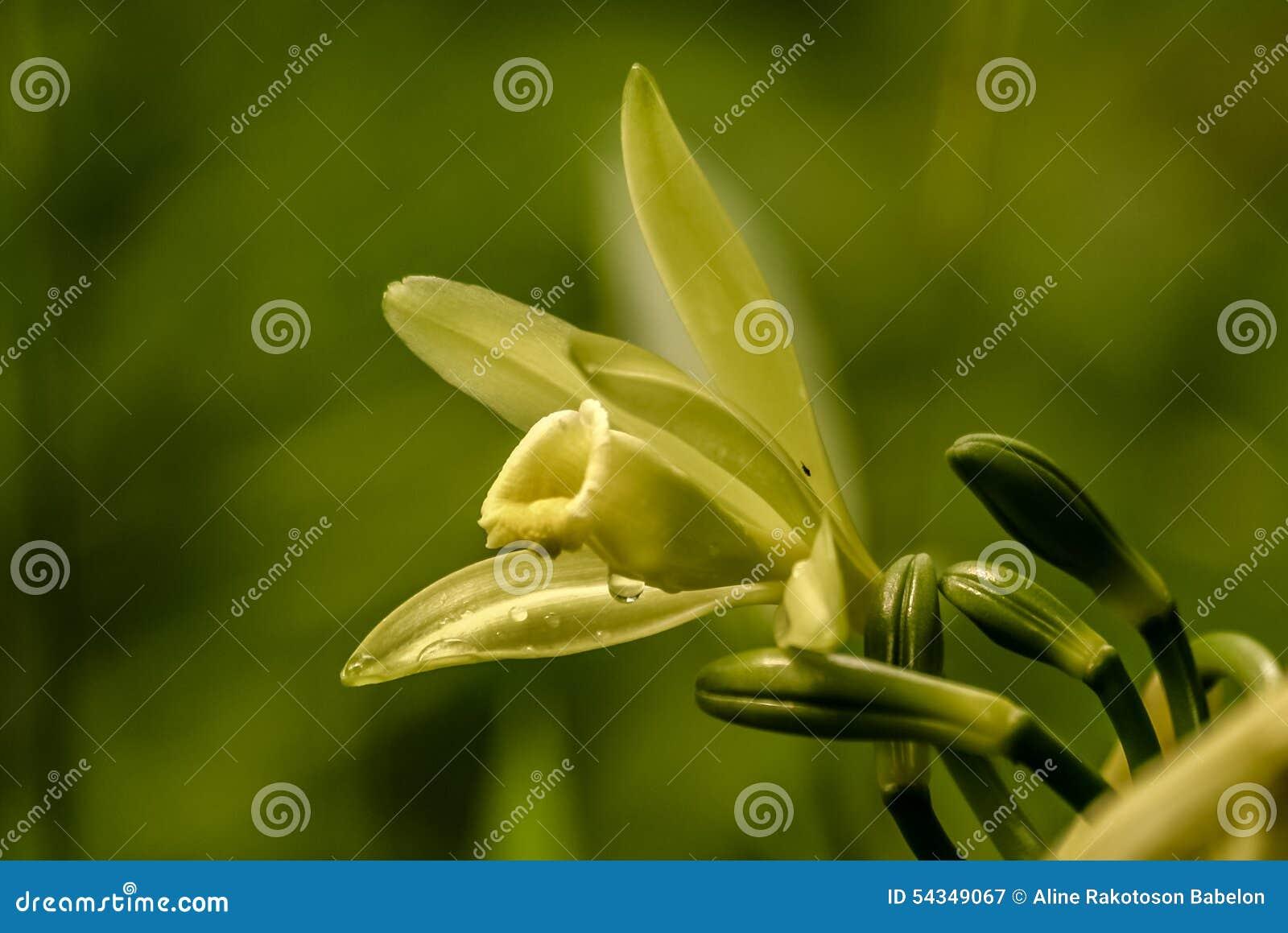 Waniliowy kwiat