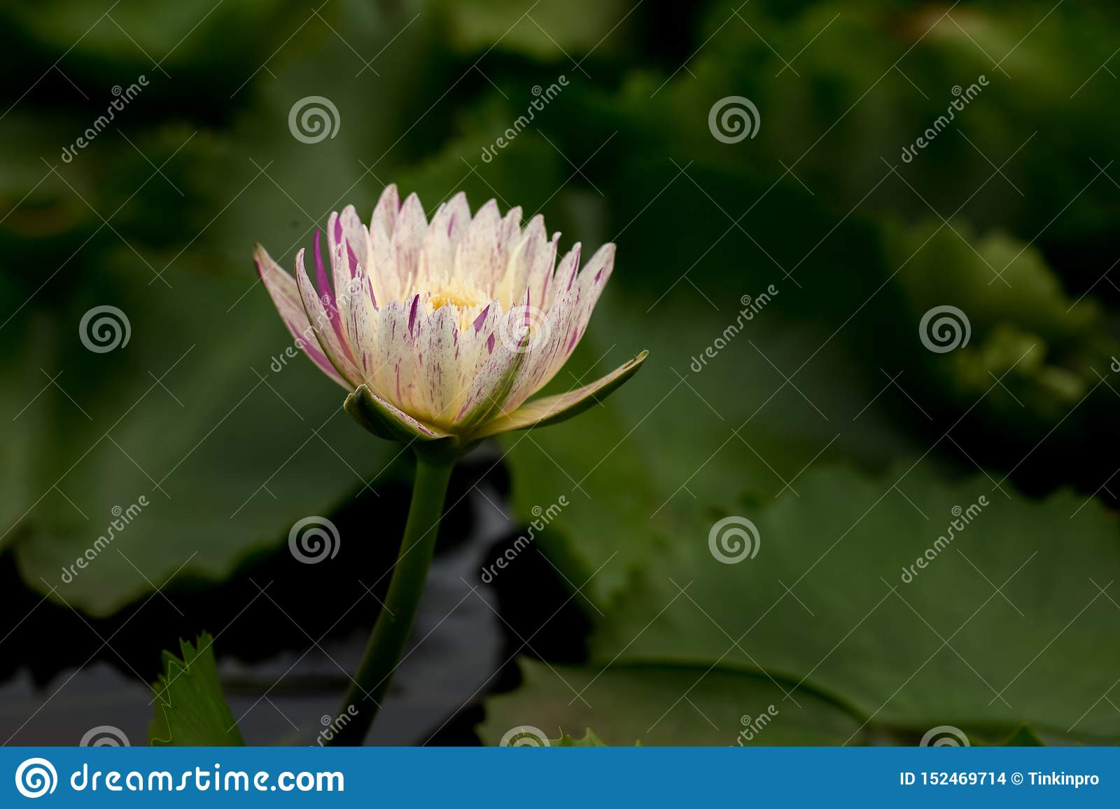Wanter, Flower, Close Up, Plant, Purple, Purple Lily, Purple Teichrose, Purple Flower, Violet, Purple Water Lily