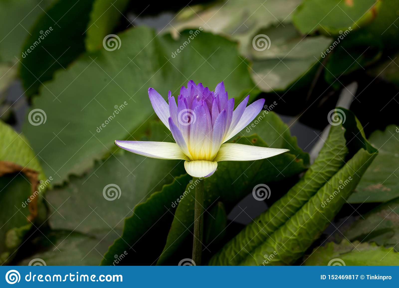 Wanter, Flower, Close Up, Plant, Purple, Purple Lily, Purple Teichrose, Purple Flower, Violet, Purple Water Lily
