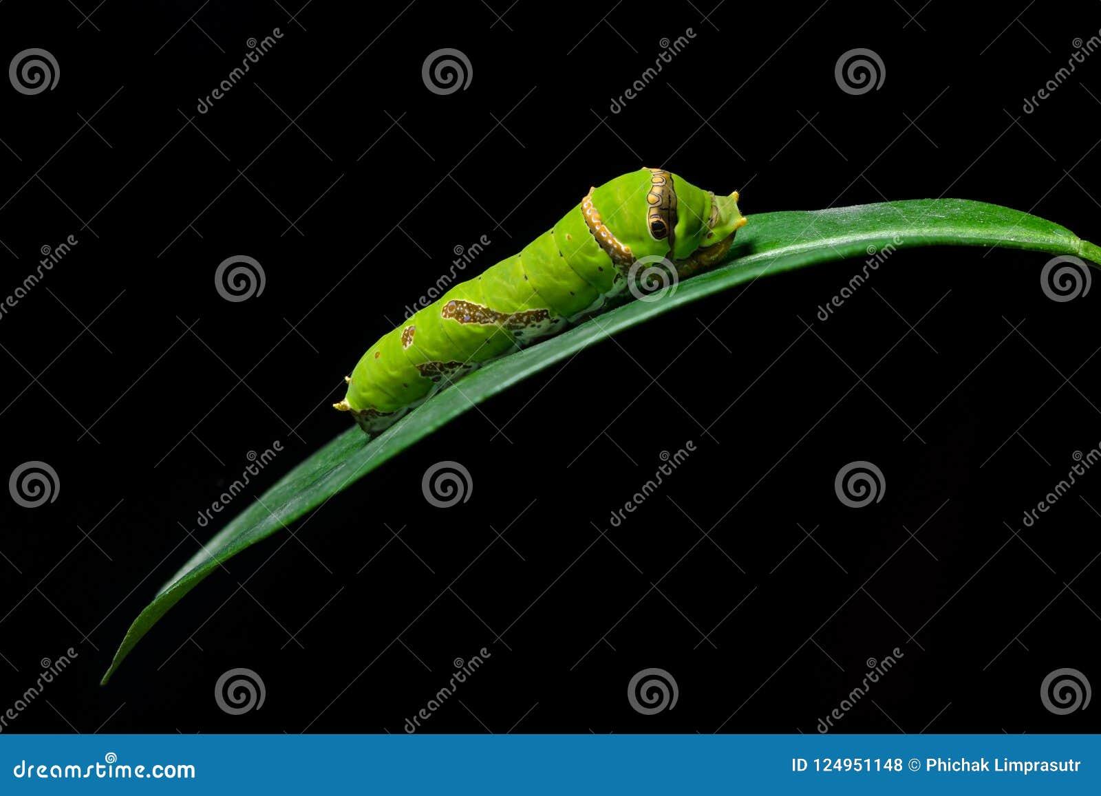 Wapna Swallowtail motylia larwa na wapno liściu