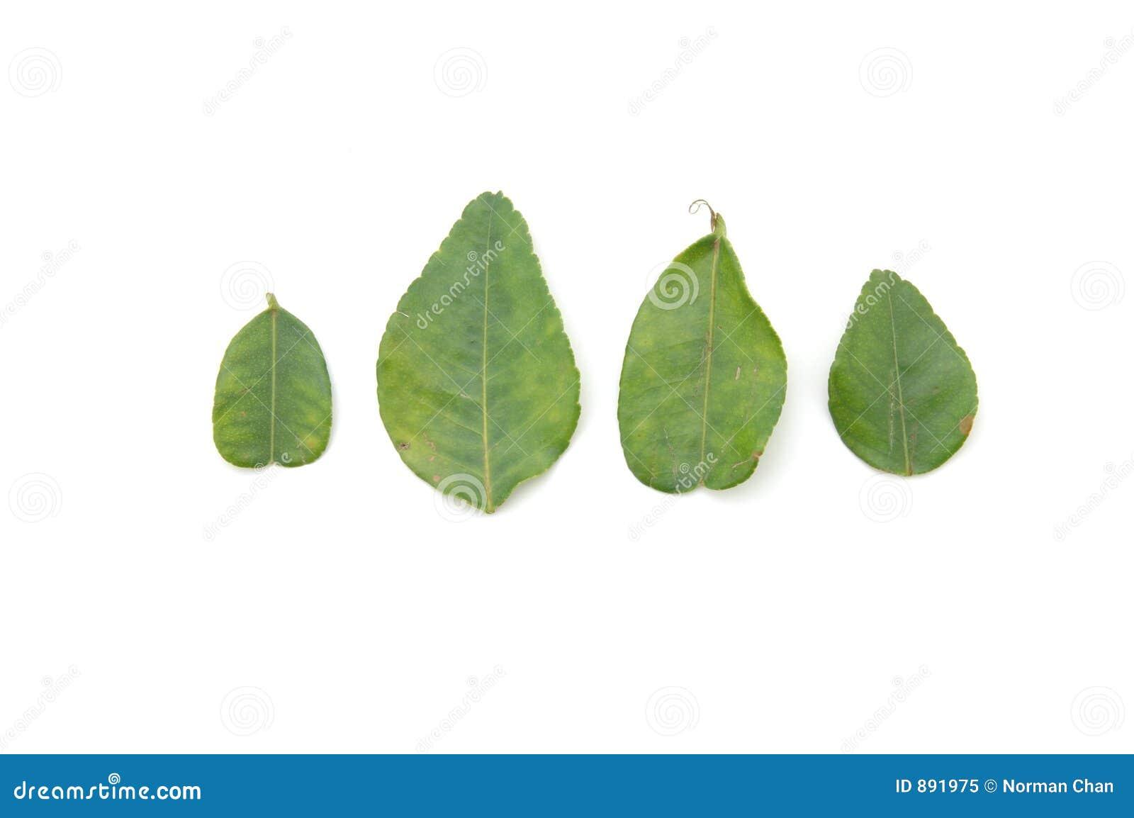Wapno liści