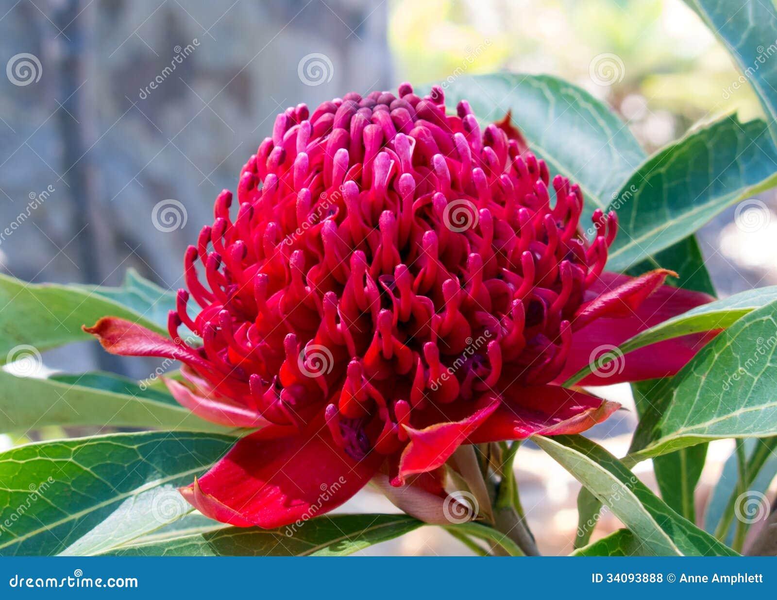 Waratah Flower Stock Photo Image Of Bloom Detail Proteaceae