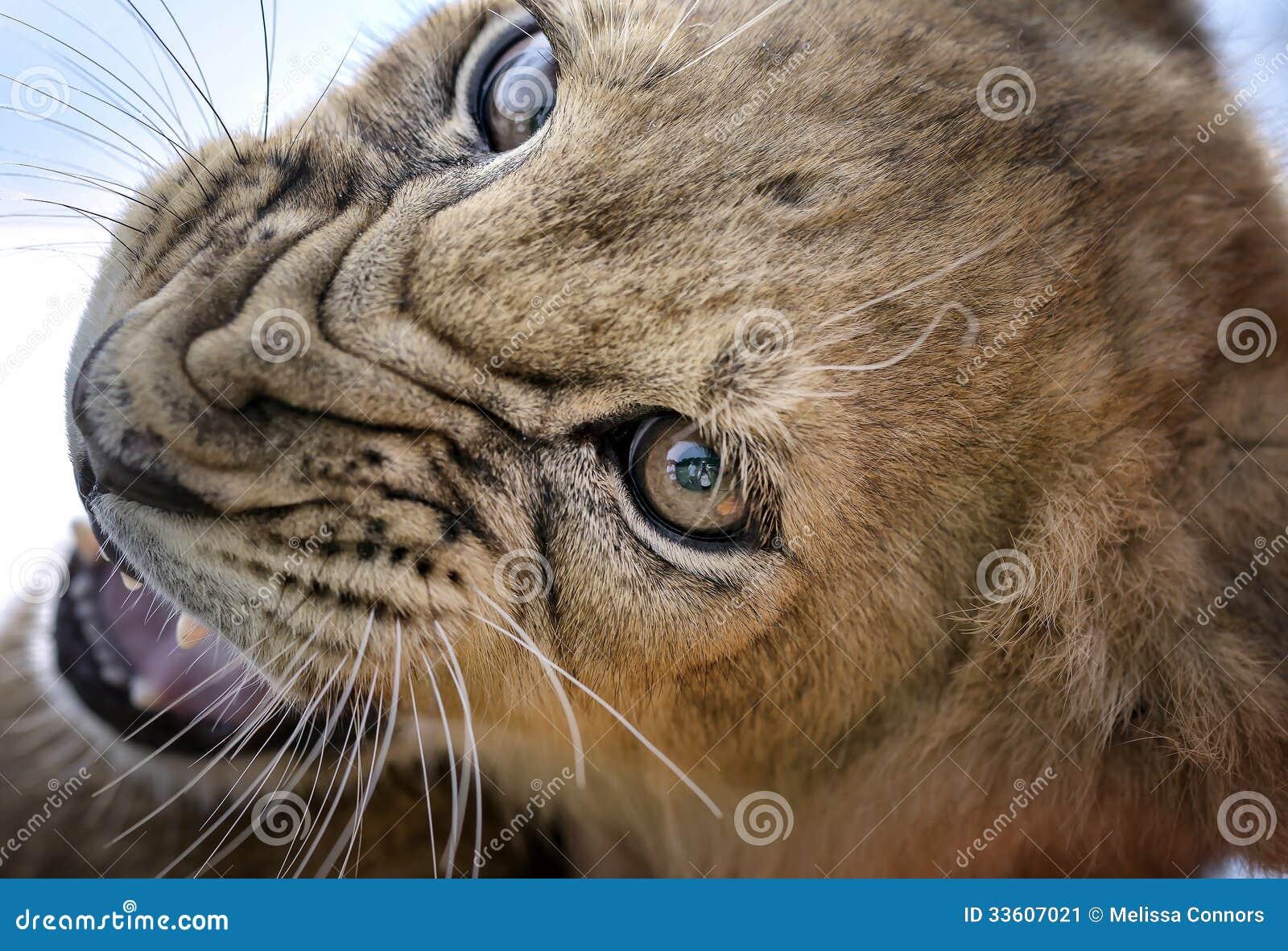 Warczenie - lwa lisiątko