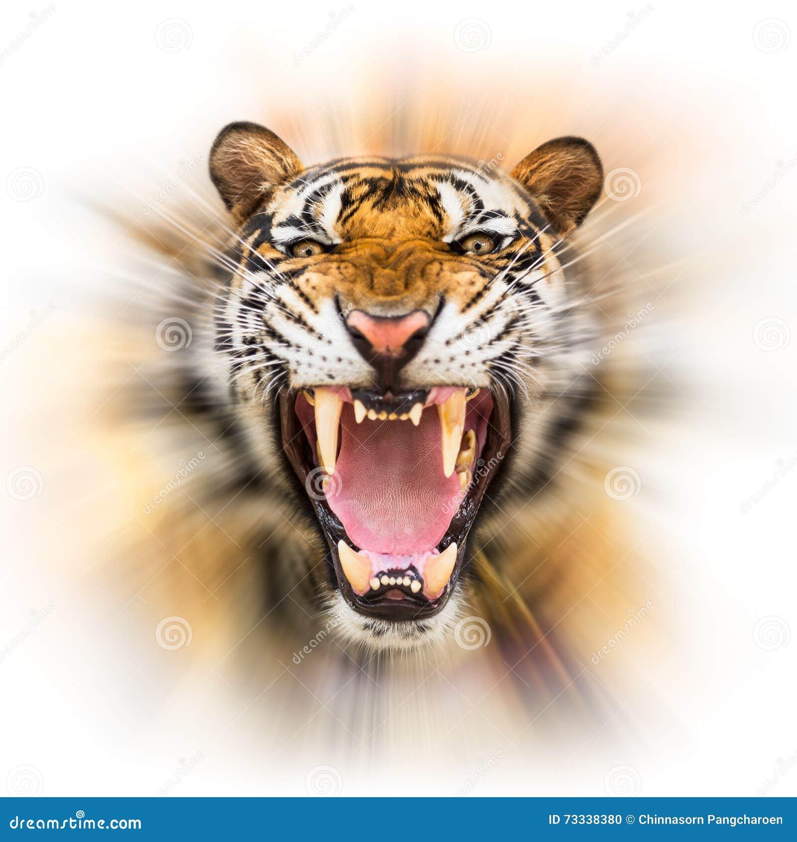 Warczenie siberian tygrys