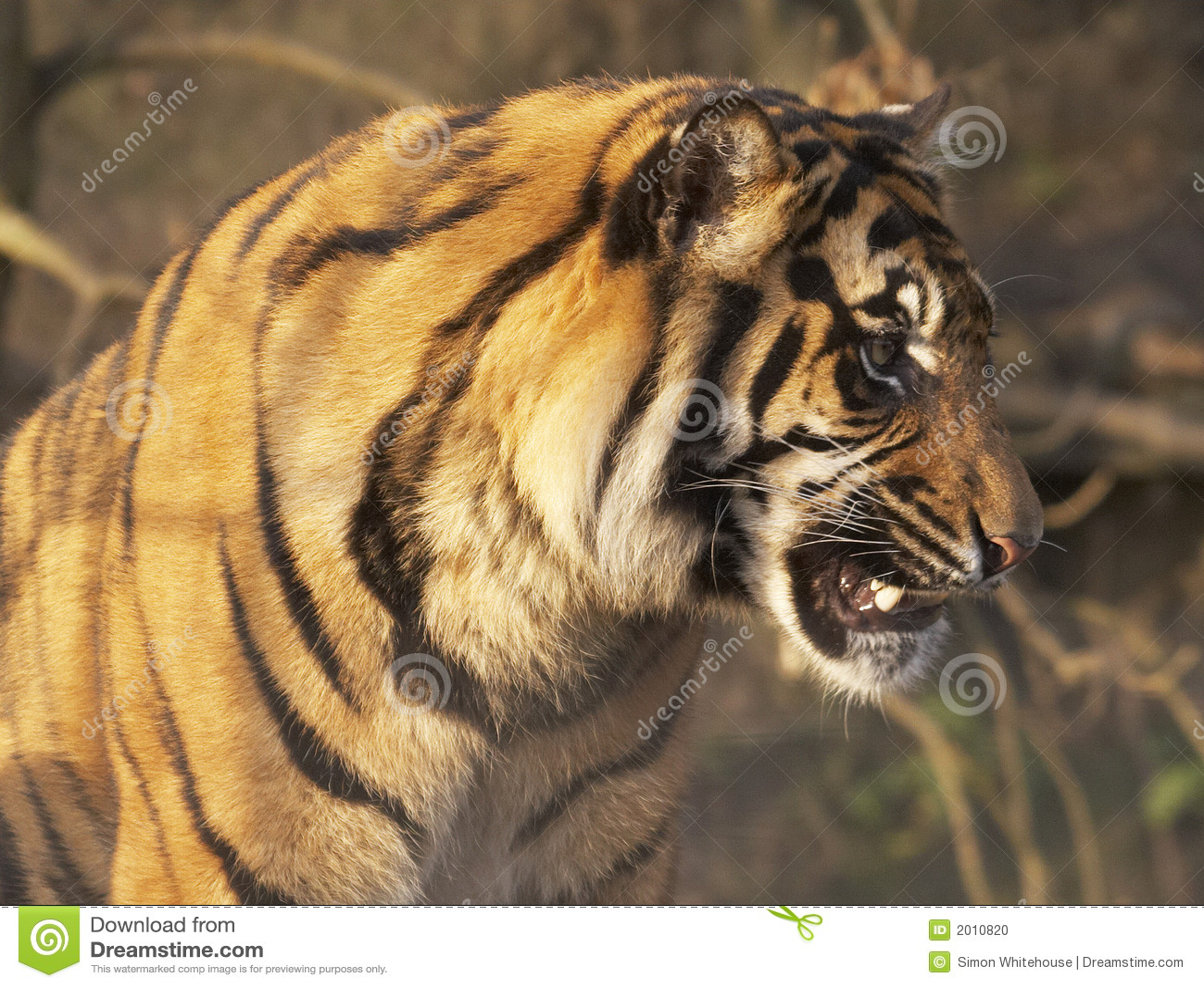Warczenie tygrysa